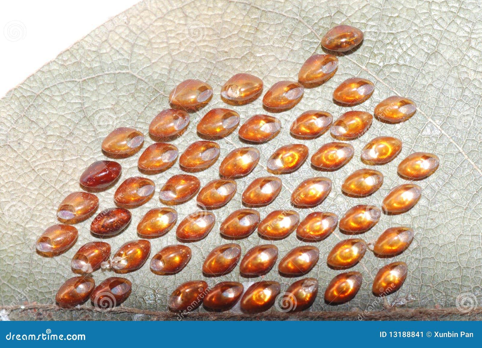 έντομο αυγών πεταλούδων
