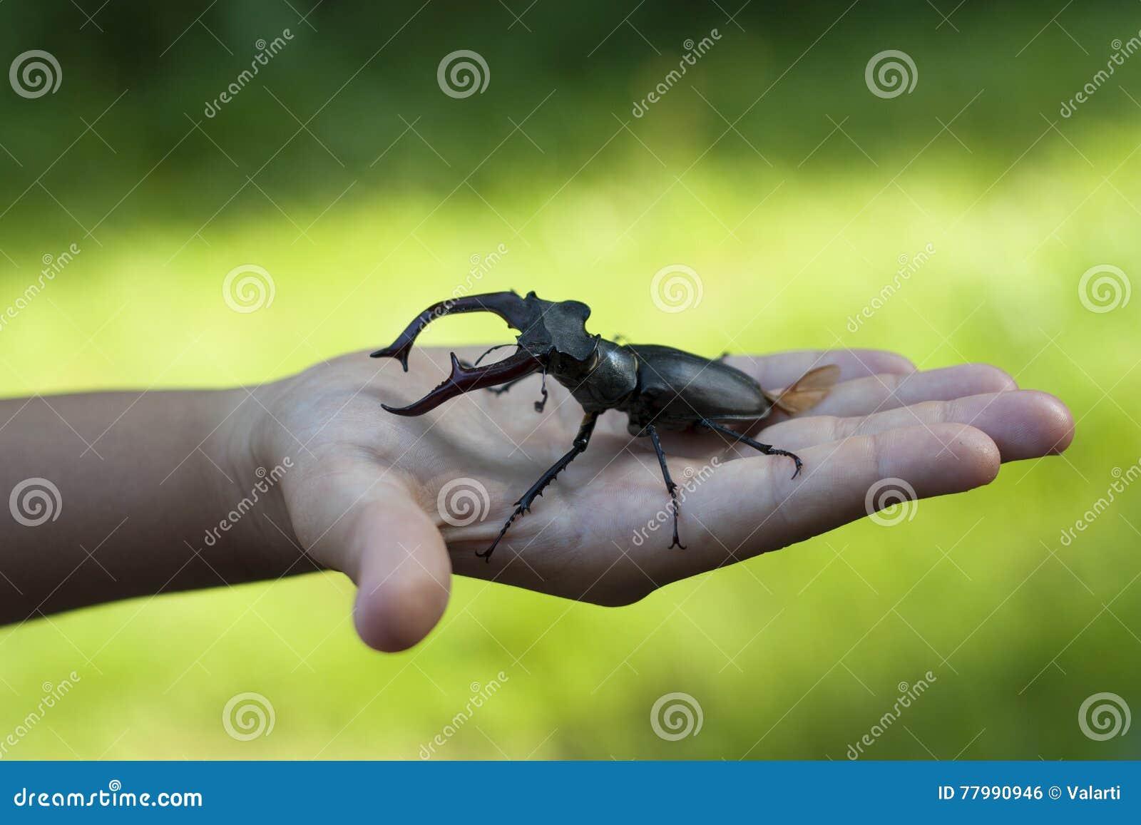 Έντομο κανθάρων αρσενικών ελαφιών σε μια φωτογραφία χεριών παιδιών παιδιών (cervus Lucanus)