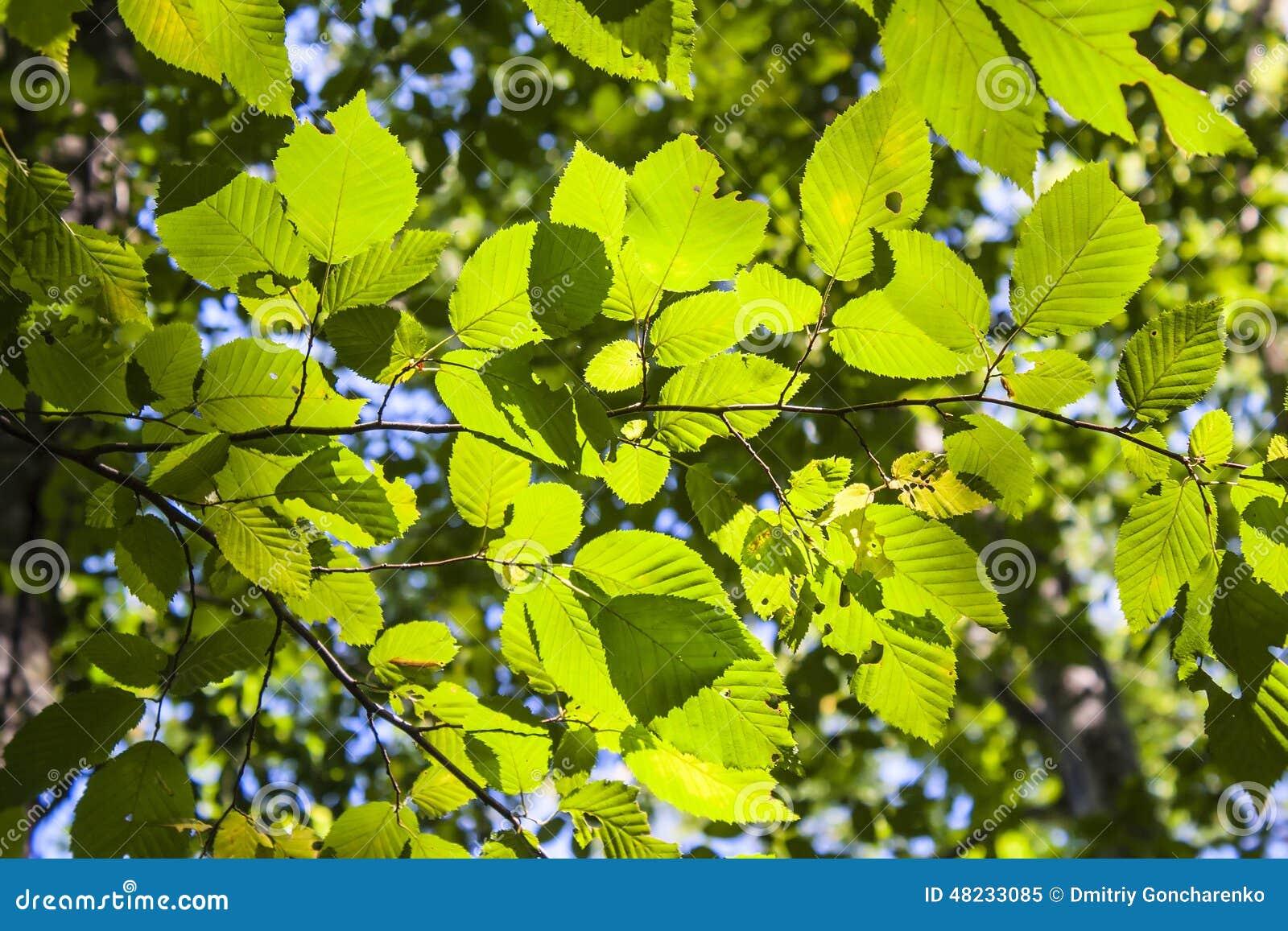 δέντρο φύλλων