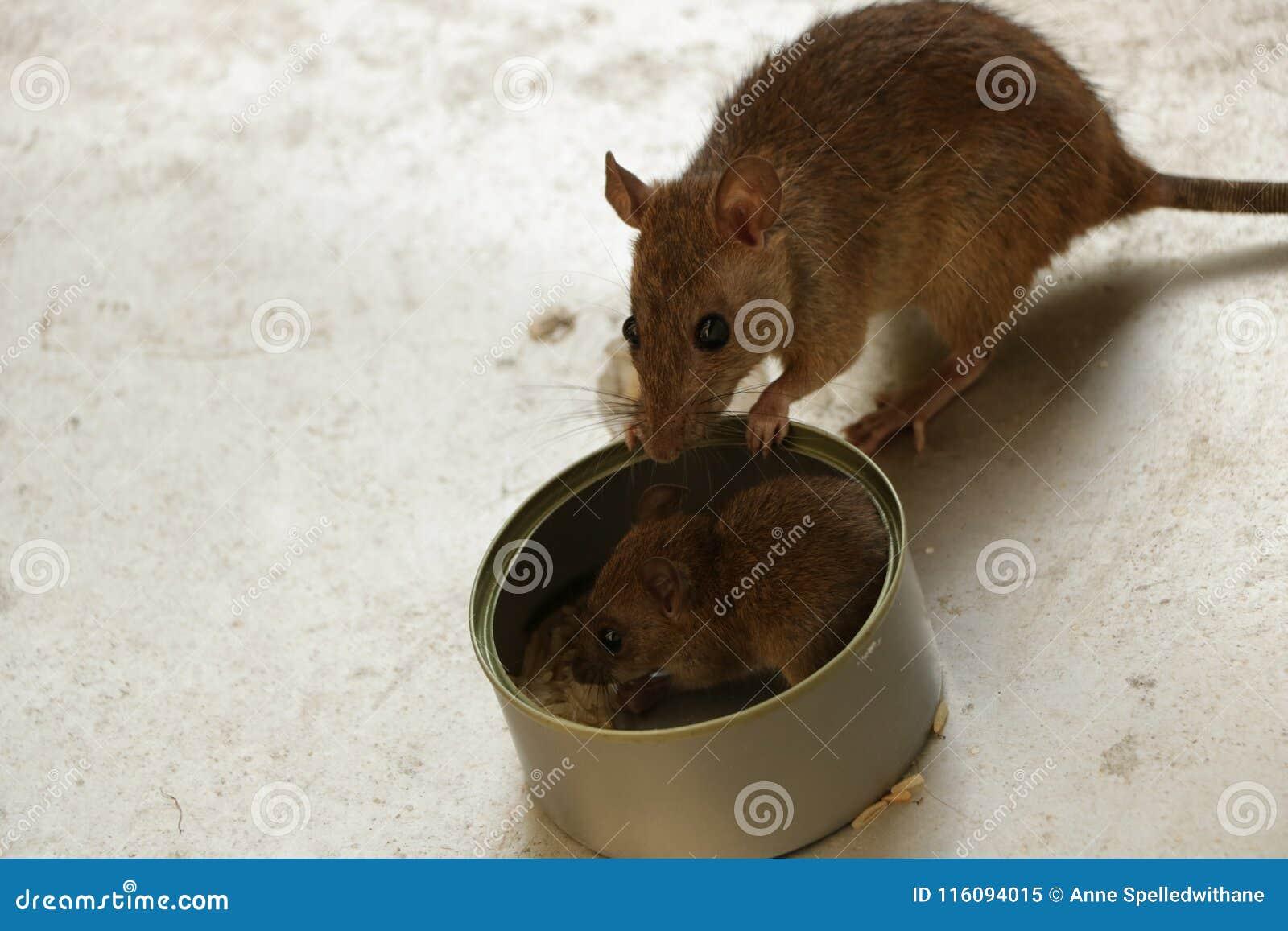 d3e15db3dabb Χαριτωμένο μικροσκοπικό ποντίκι μωρών που τρώει το ρύζι στο δοχείο  κασσίτερου χάλυβα στη στέγη