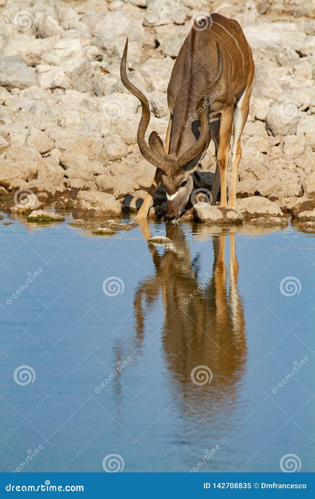 Έρημοι και φύση της Ναμίμπια Kudu στα εθνικά πάρκα