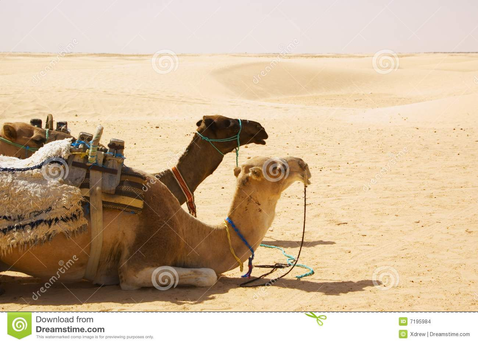 έρημος καμηλών