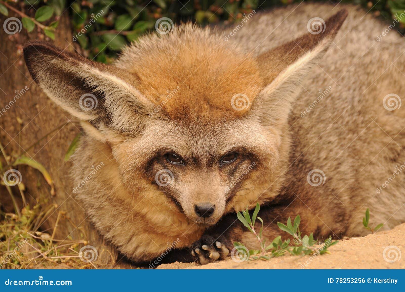 έχουσα νώτα αλεπού ροπάλ&omega