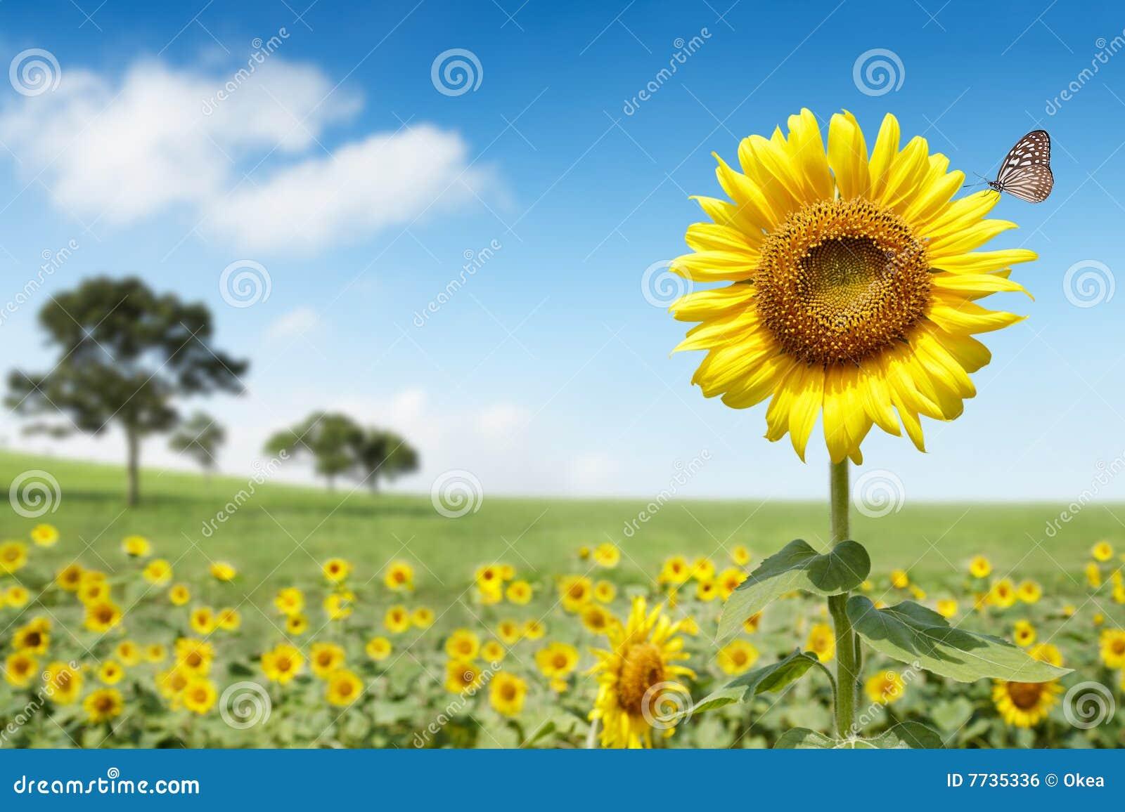 ήλιος λουλουδιών
