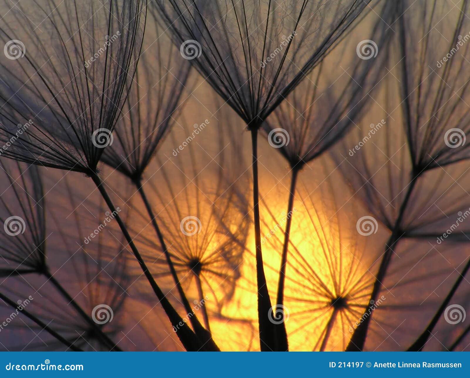 ήλιος σπόρου πικραλίδων