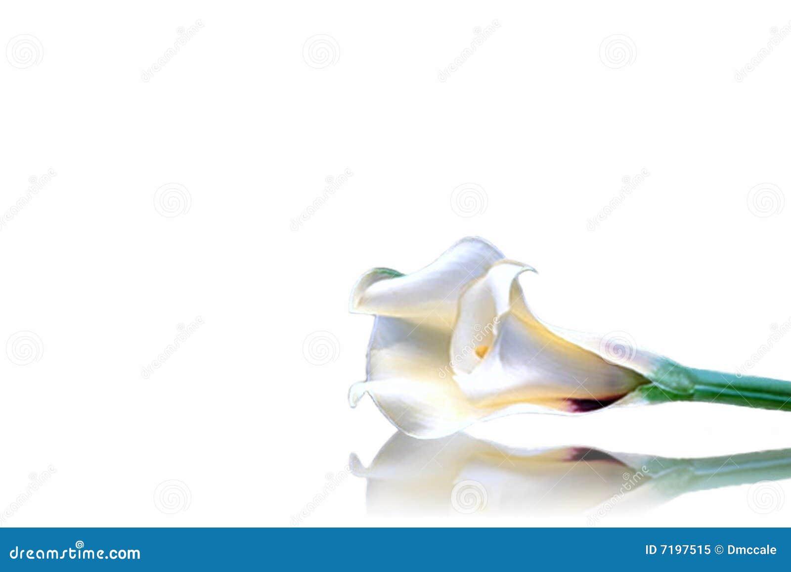 ίριδα λουλουδιών που α&p