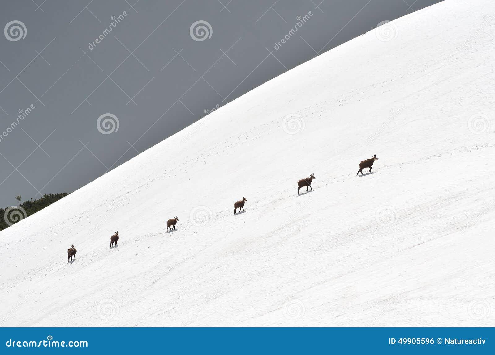 Αίγαγροι στο χιόνι