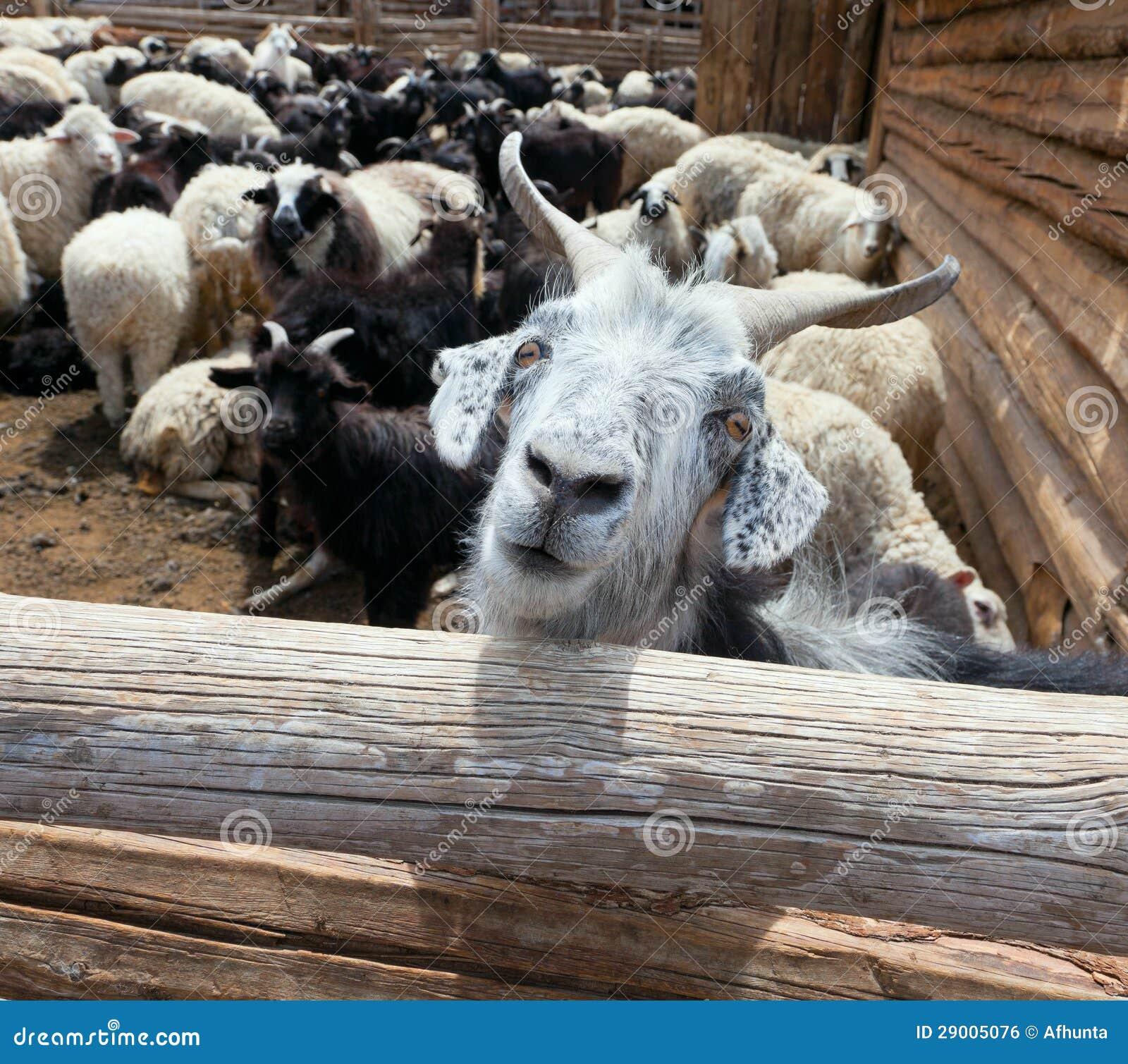 Αίγα και πρόβατα