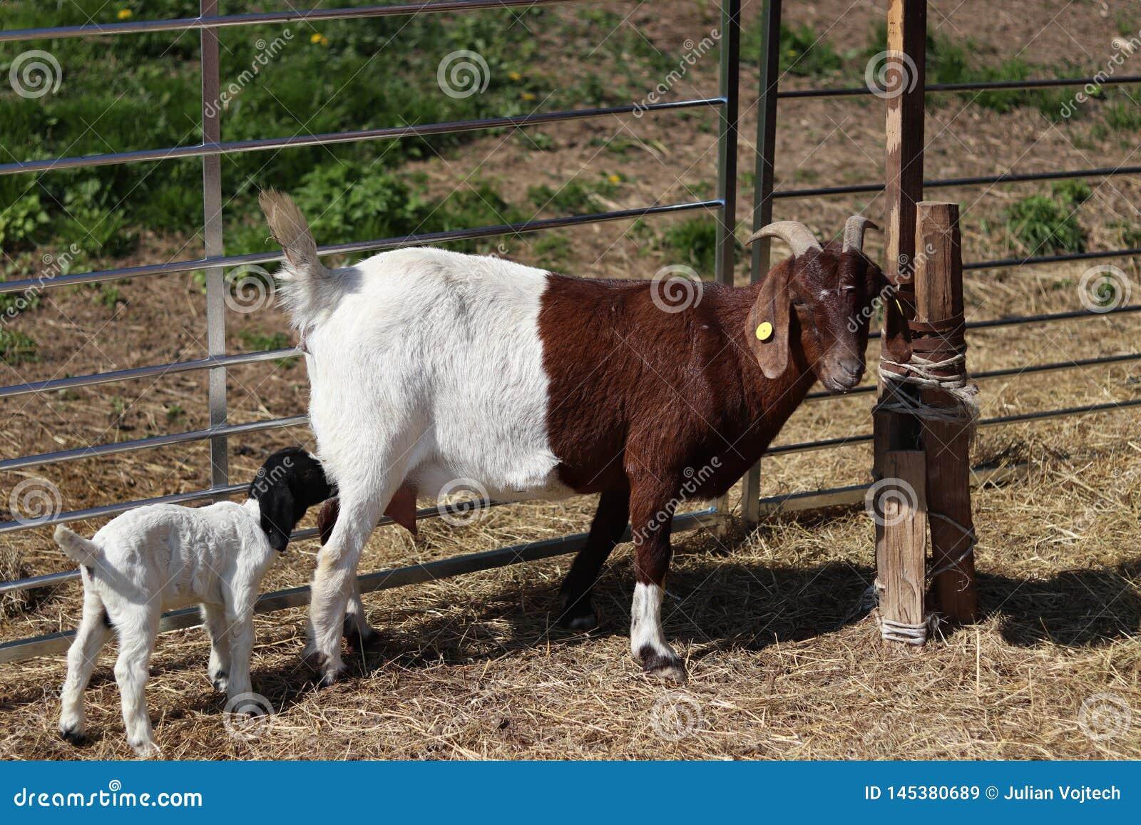 Αίγα με μια μικρή αίγα, πόσιμο γάλα αιγών θηλασμού