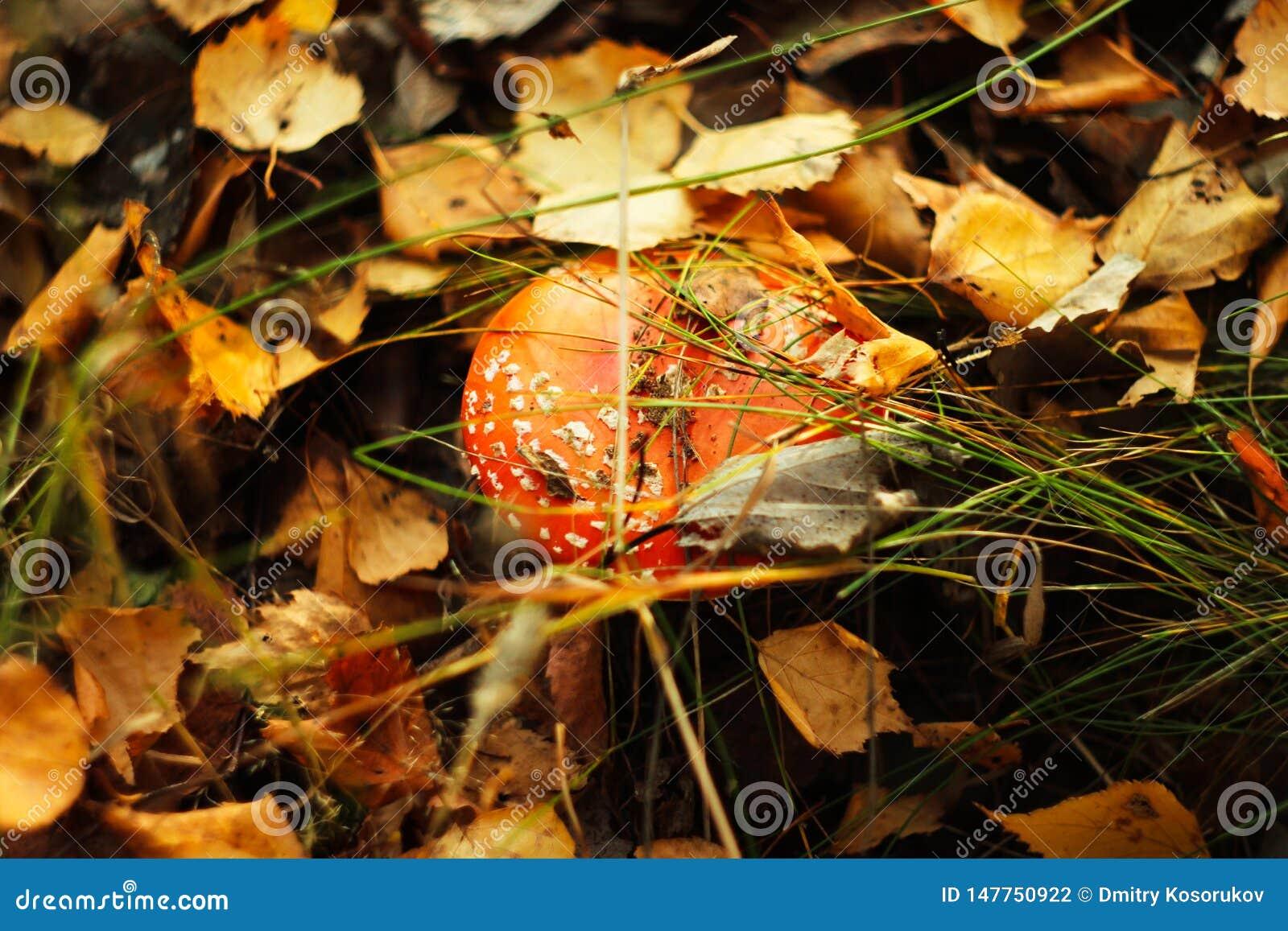 Αγαρικό μυγών μανιταριών στο δάσος φθινοπώρου