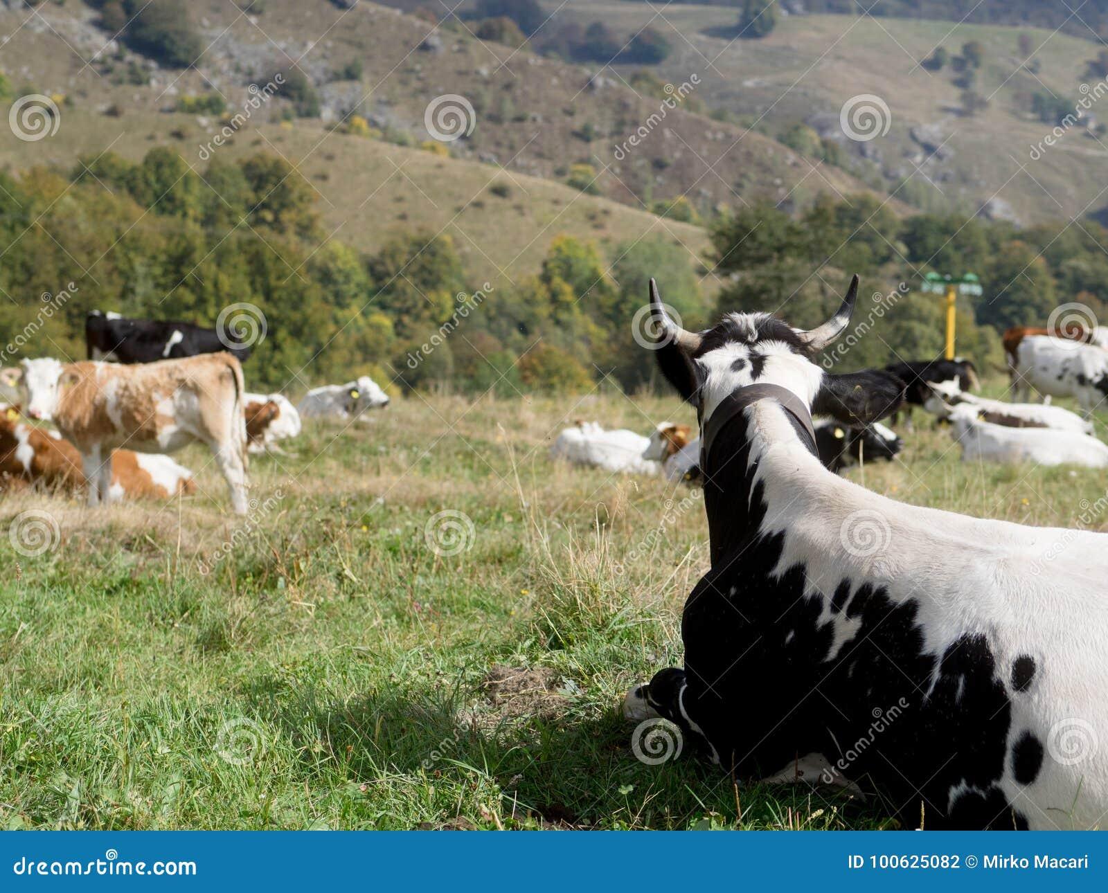 Αγελάδα γάλακτος με τη βοσκή στα αλπικά βουνά πράσινα