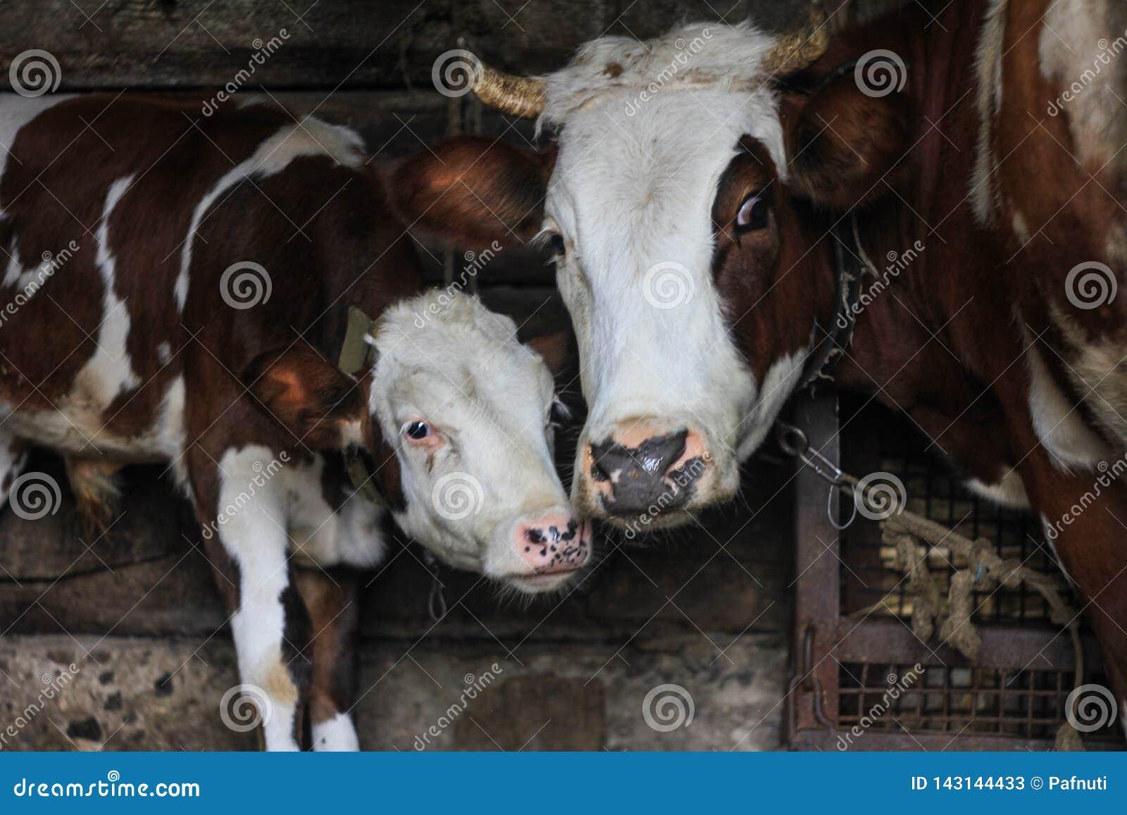 Αγελάδα και μόσχος κινηματογραφήσεων σε πρώτο πλάνο σε ένα αγρόκτημα Έννοια: αναπαραγωγή, αγάπη για τα ζώα