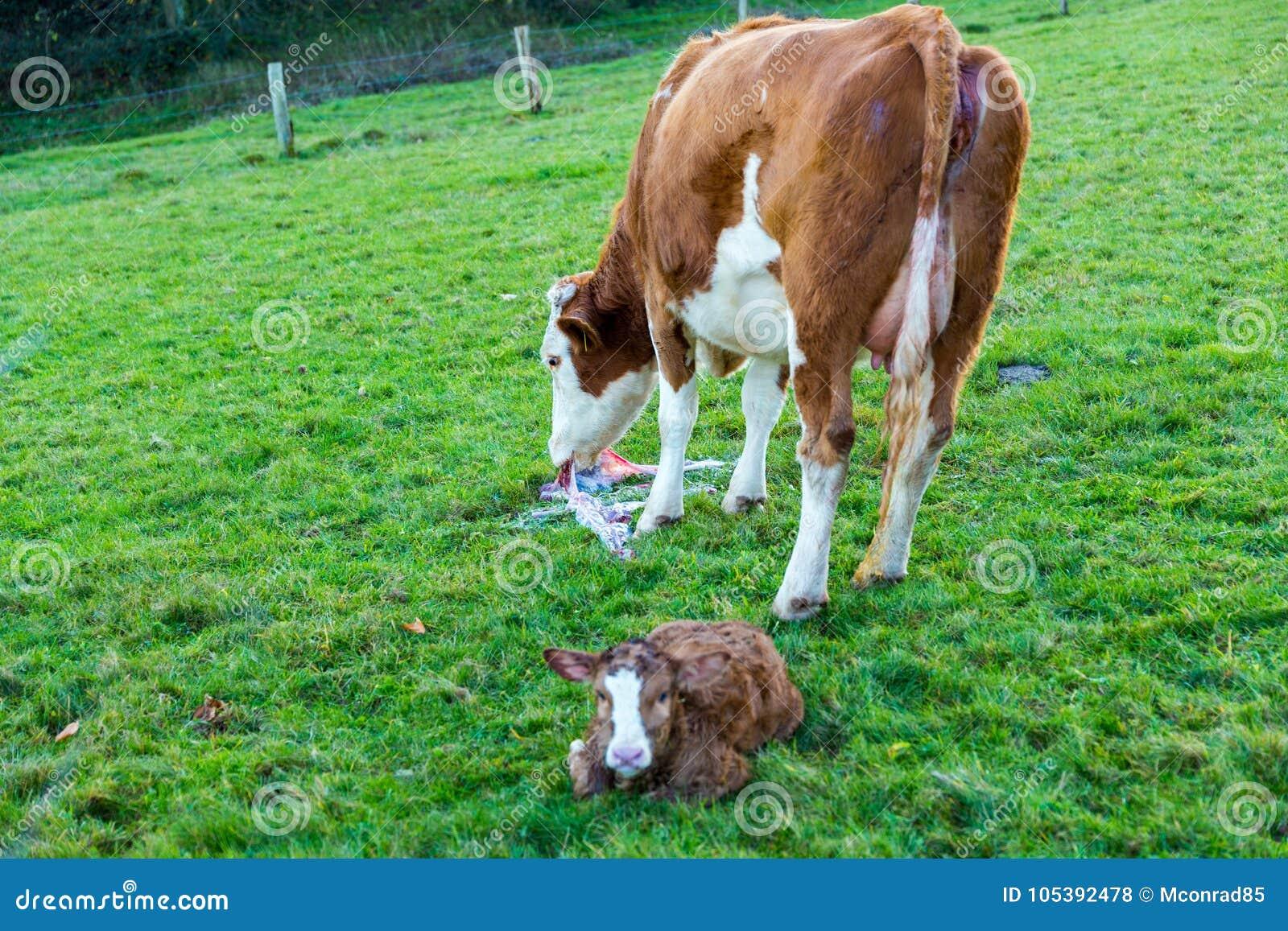 Αγελάδα μητέρων με νέο - γεννημένες ώρες μόσχων μετά από να γεννήσει σε πράσινο