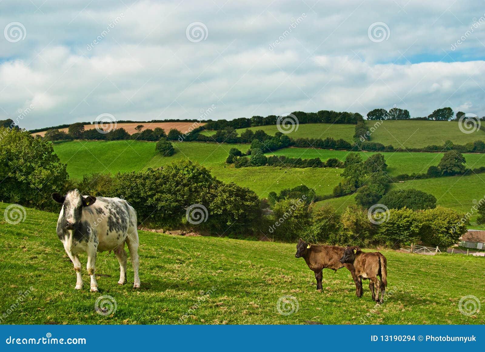 αγελάδα μόσχων