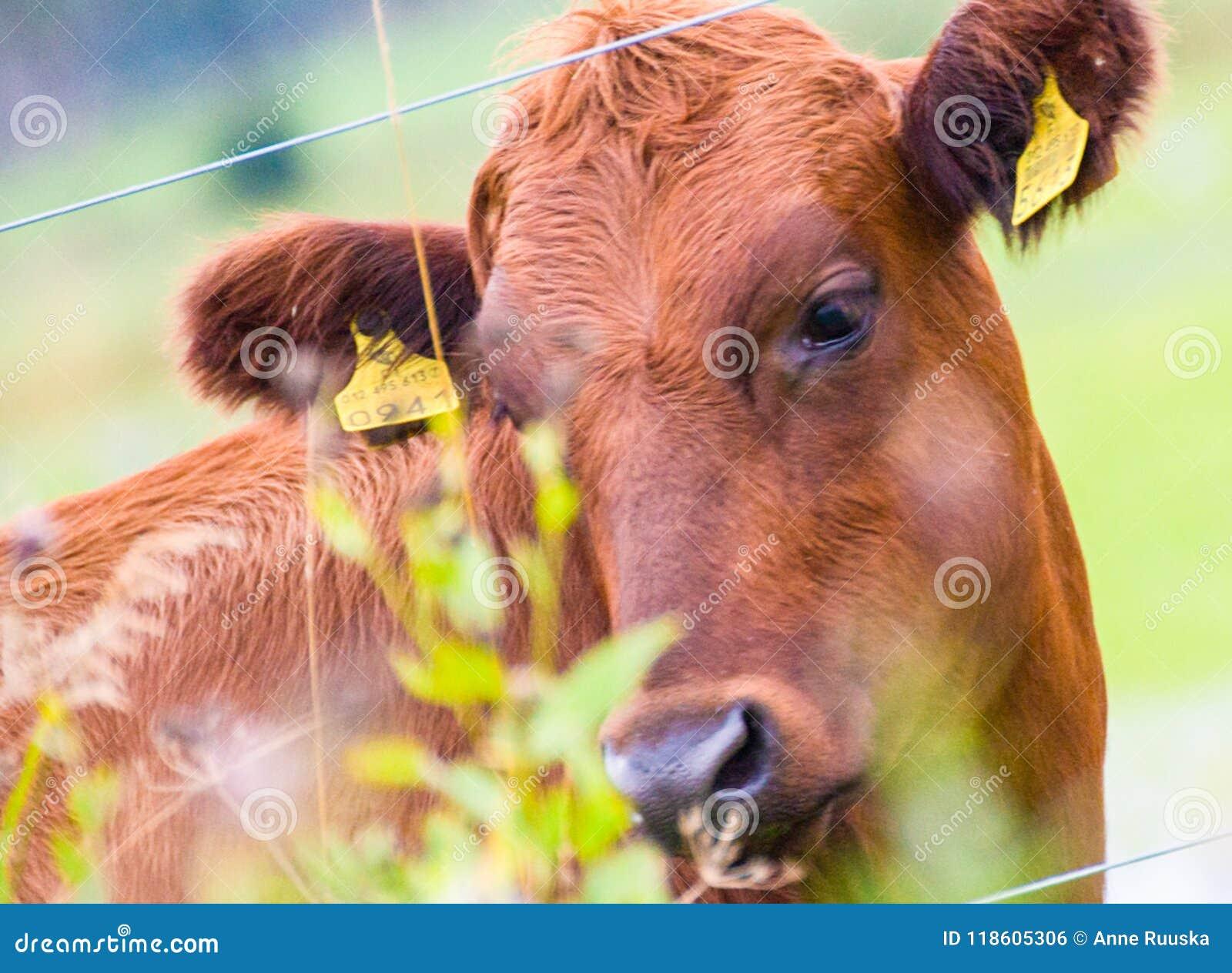 Αγελάδα που σκέφτεται τα βαθιά toughts