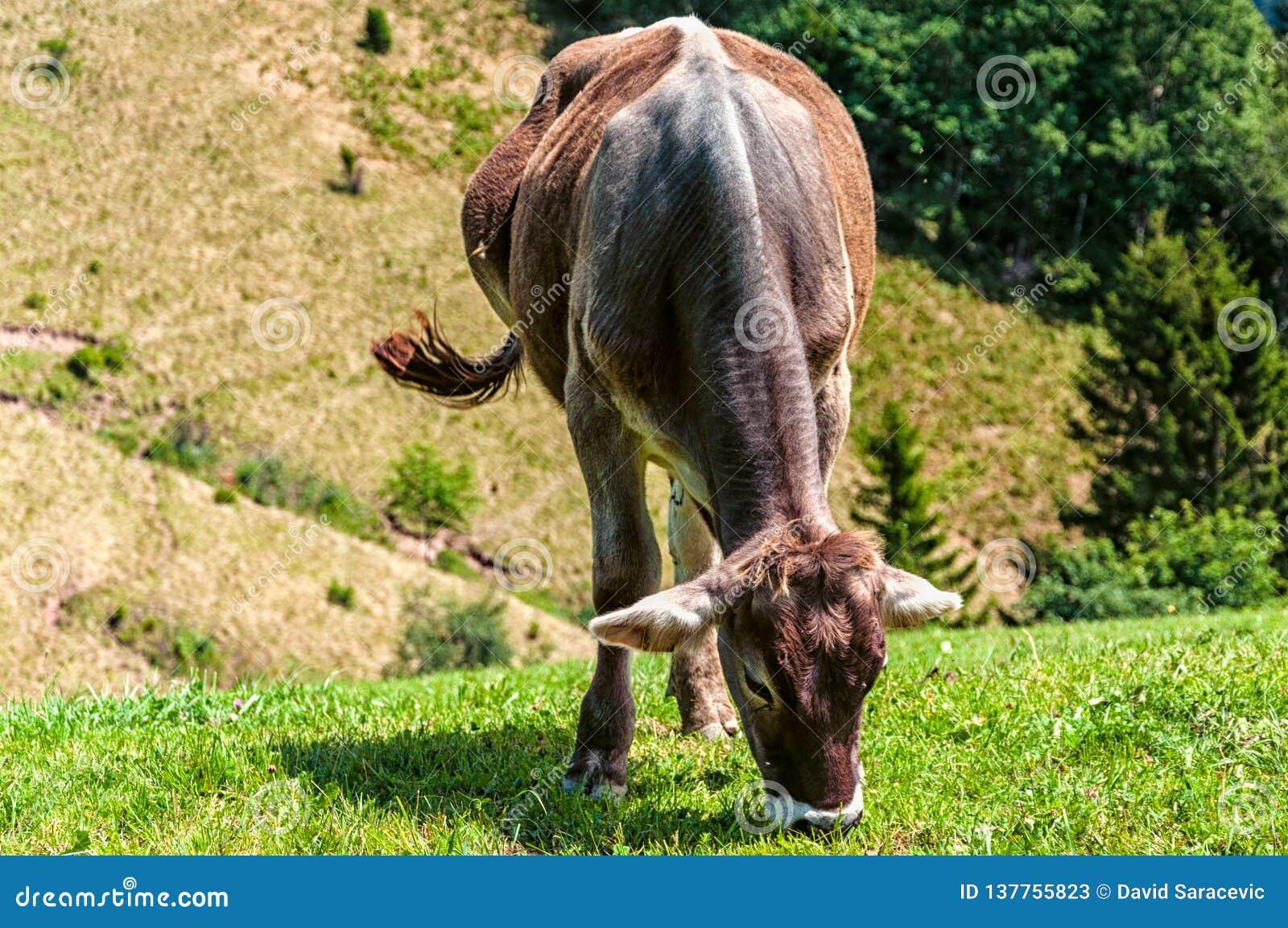 αγελάδα που τρώει τη χλόη