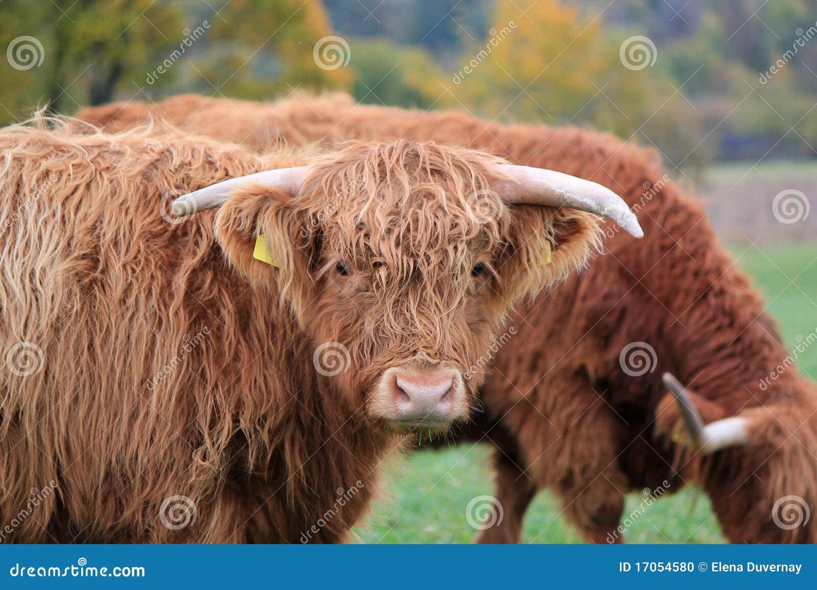 αγελάδα σκωτσέζικα