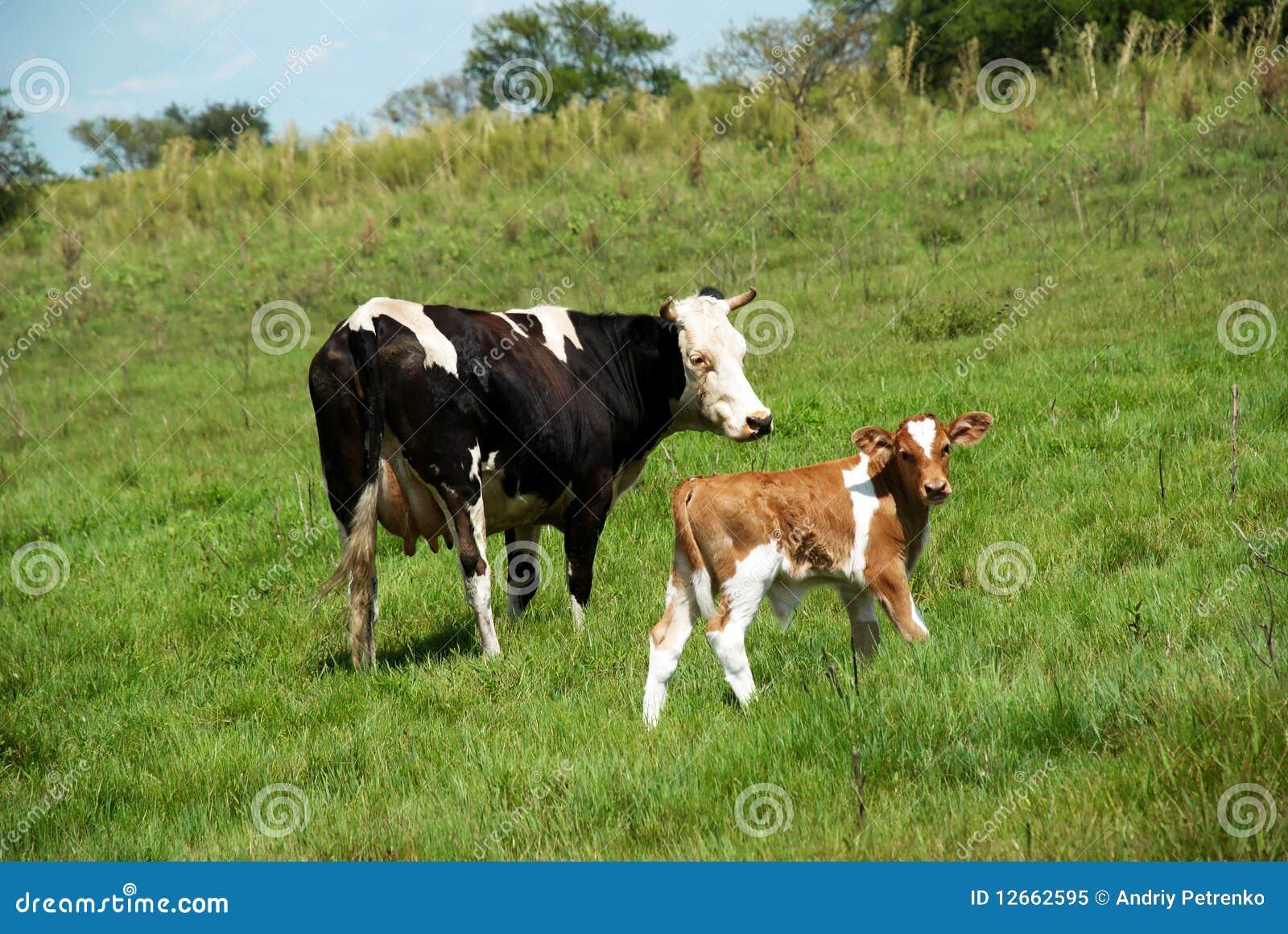 αγελάδα ταύρων calfe