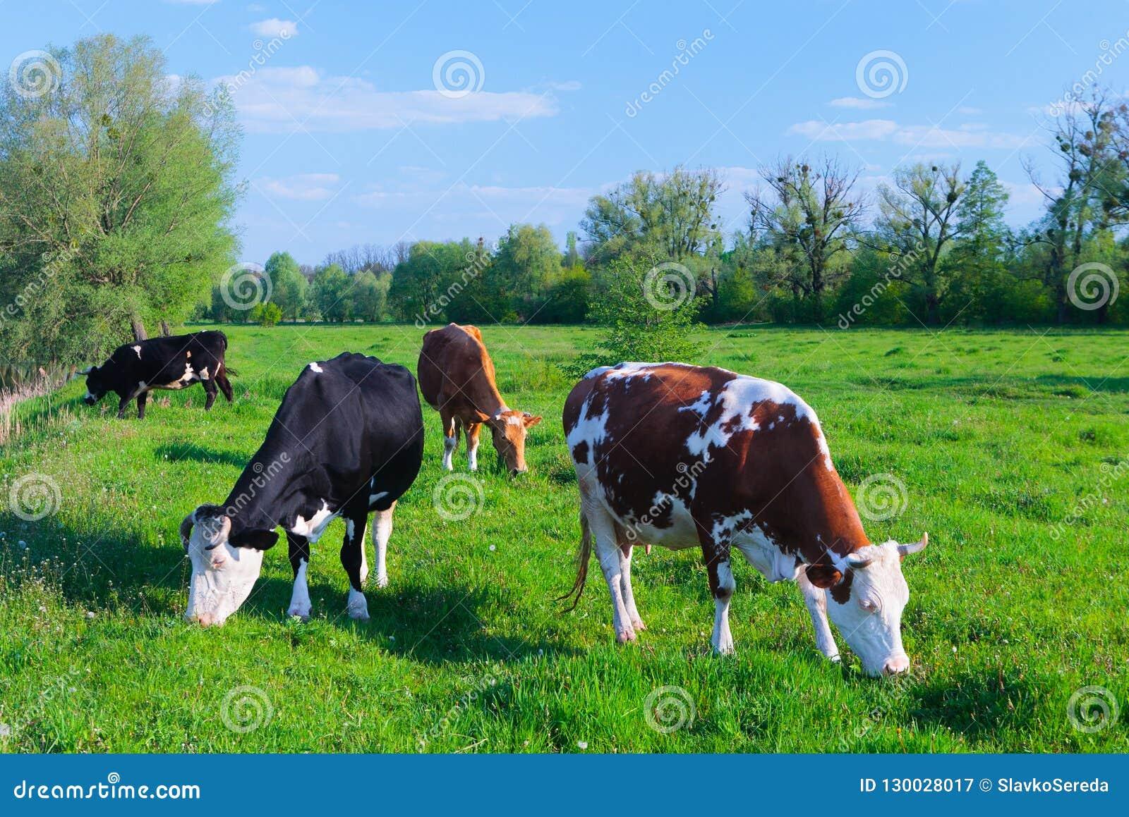 Αγελάδες γάλακτος που βόσκουν σε ένα πράσινο pasturage τομέων χλόης κάτω από το μπλε SK