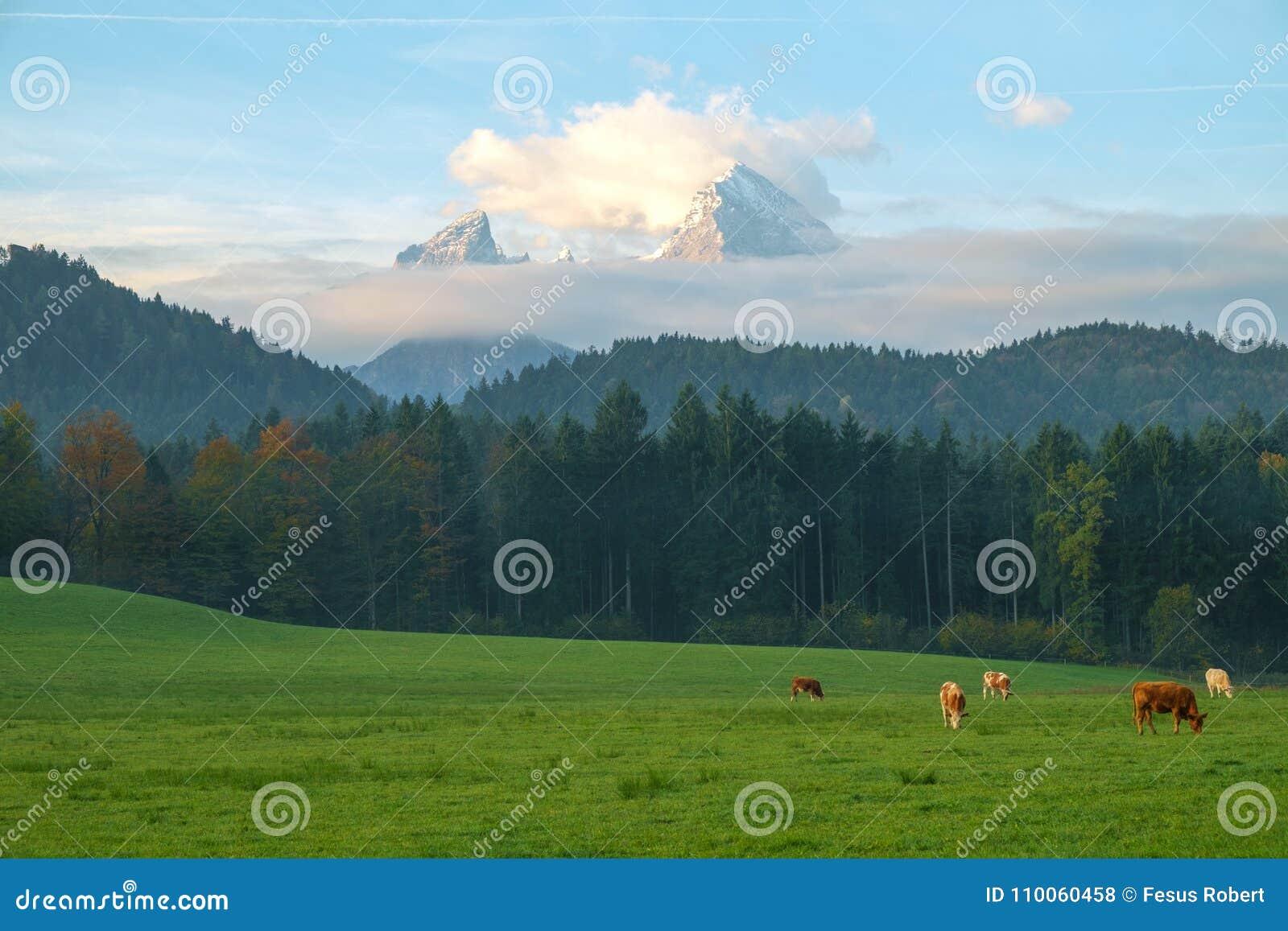 Αγελάδες που βόσκουν σε ένα πράσινο πολύβλαστο λιβάδι