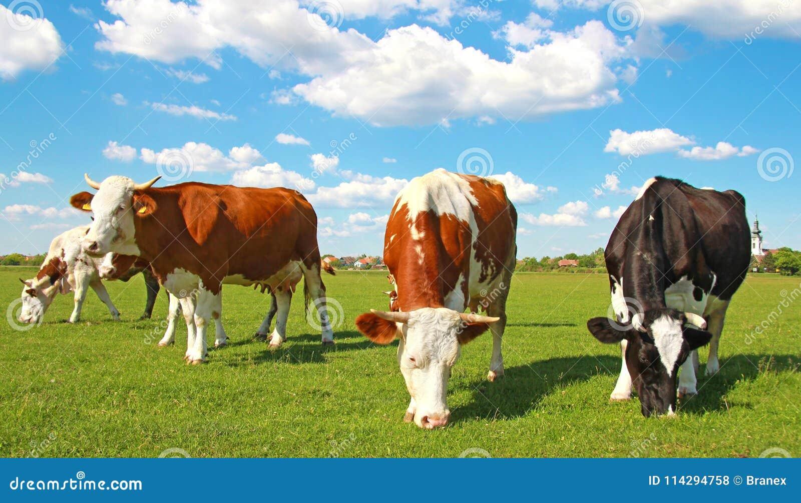αγελάδες που βόσκουν το λιβάδι