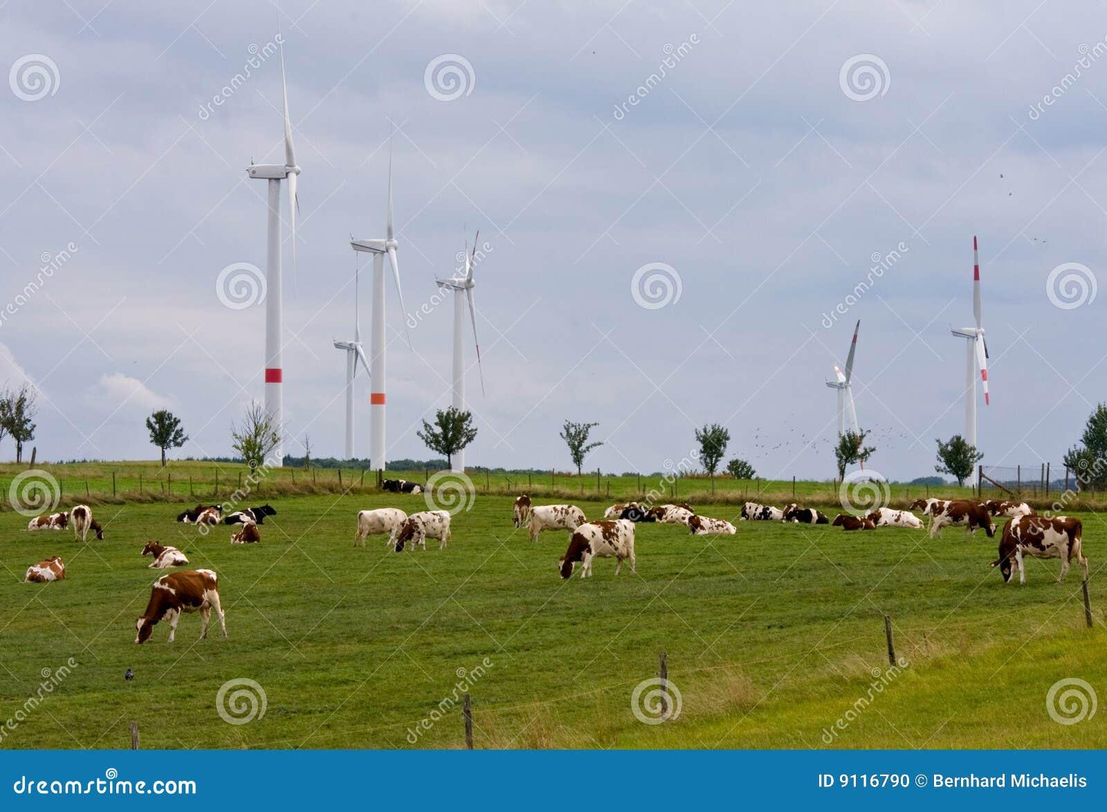 αγελάδες που ταΐζονται τη χλόη τον οργανικό αέρα ισχύος