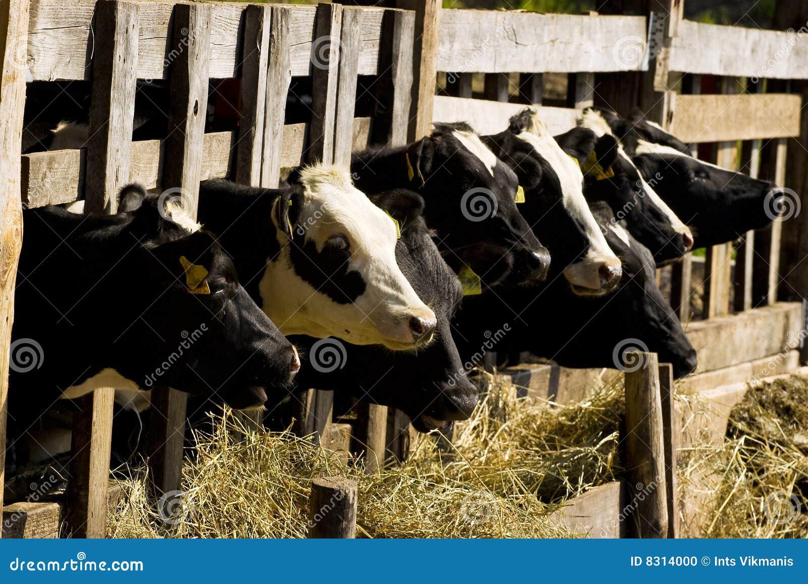 αγελάδες που ταΐζουν τ&et