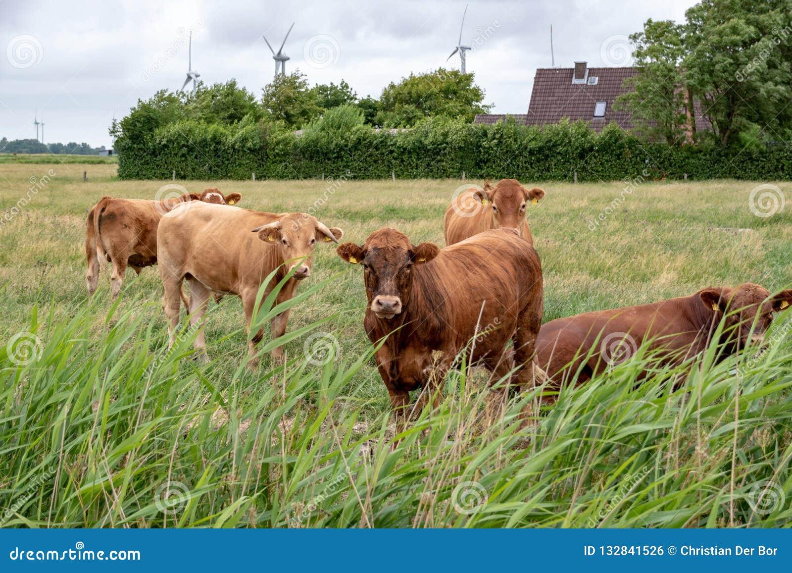 Αγελάδες σε ένα λιβάδι στη Γερμανία