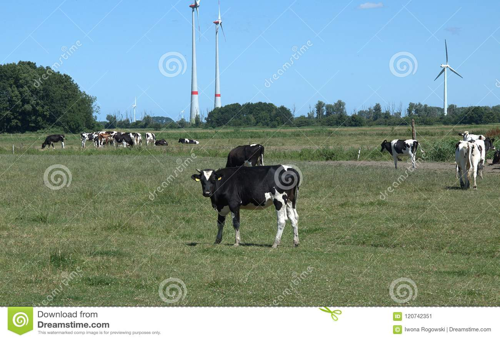 Αγελάδες σε ένα λιβάδι