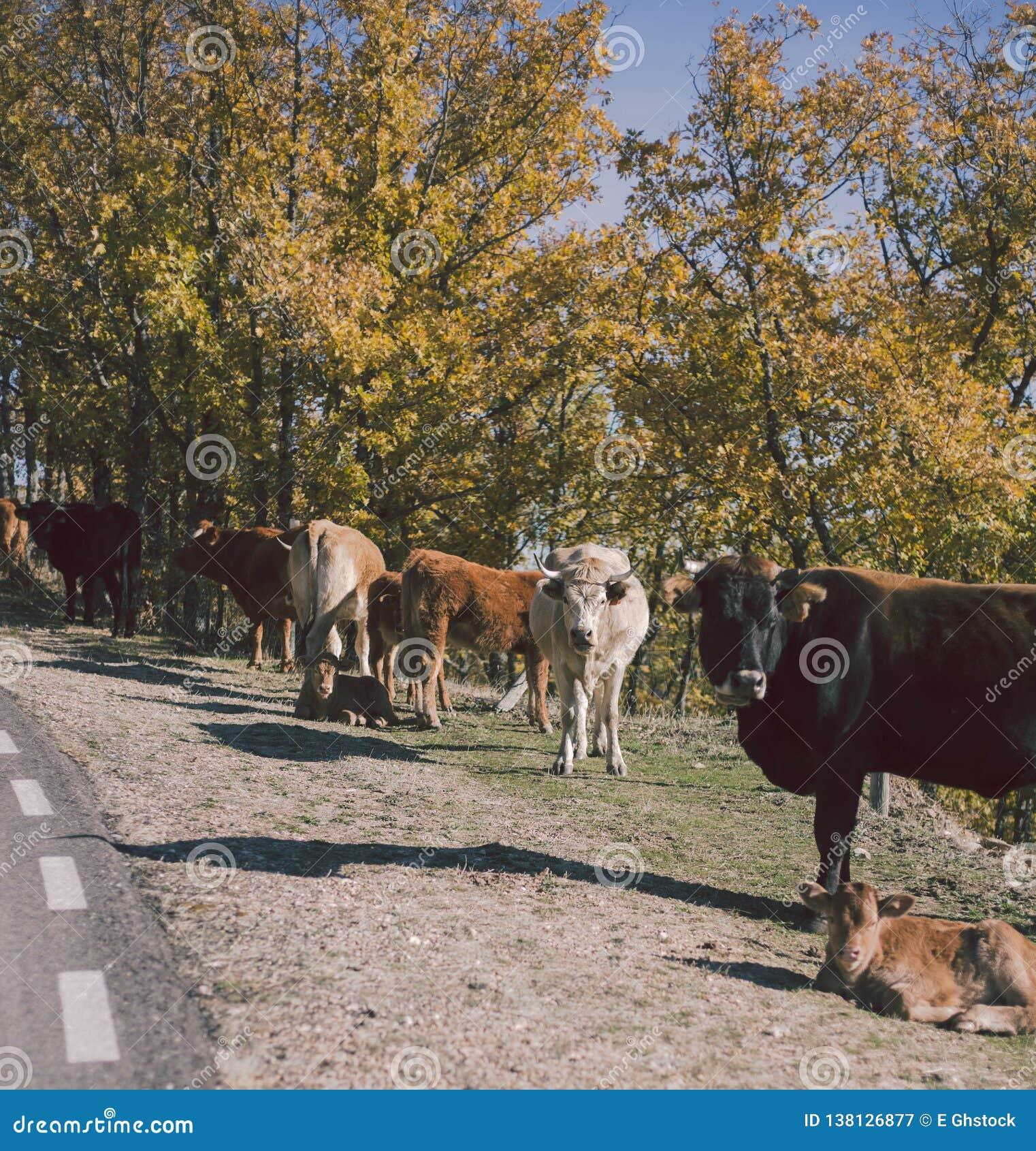 Αγελάδες στο δρόμο, Λα Mancha, Ισπανία της Καστίλλης