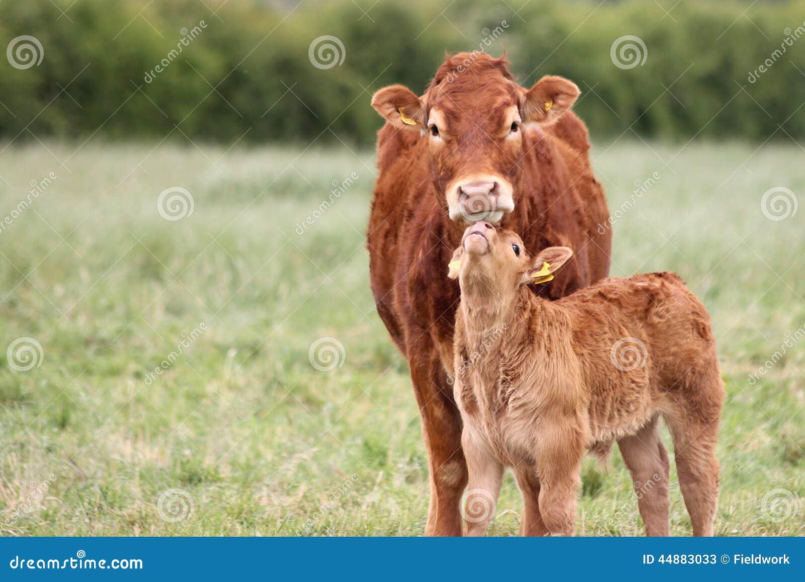 Αγελάδα μητέρων με έναν μόσχο μωρών σε έναν τομέα