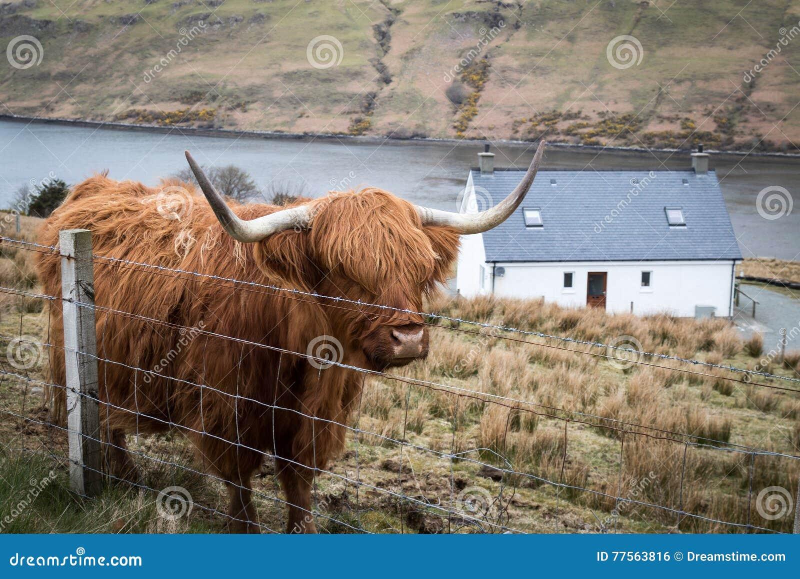 Αγελάδα ορεινών περιοχών
