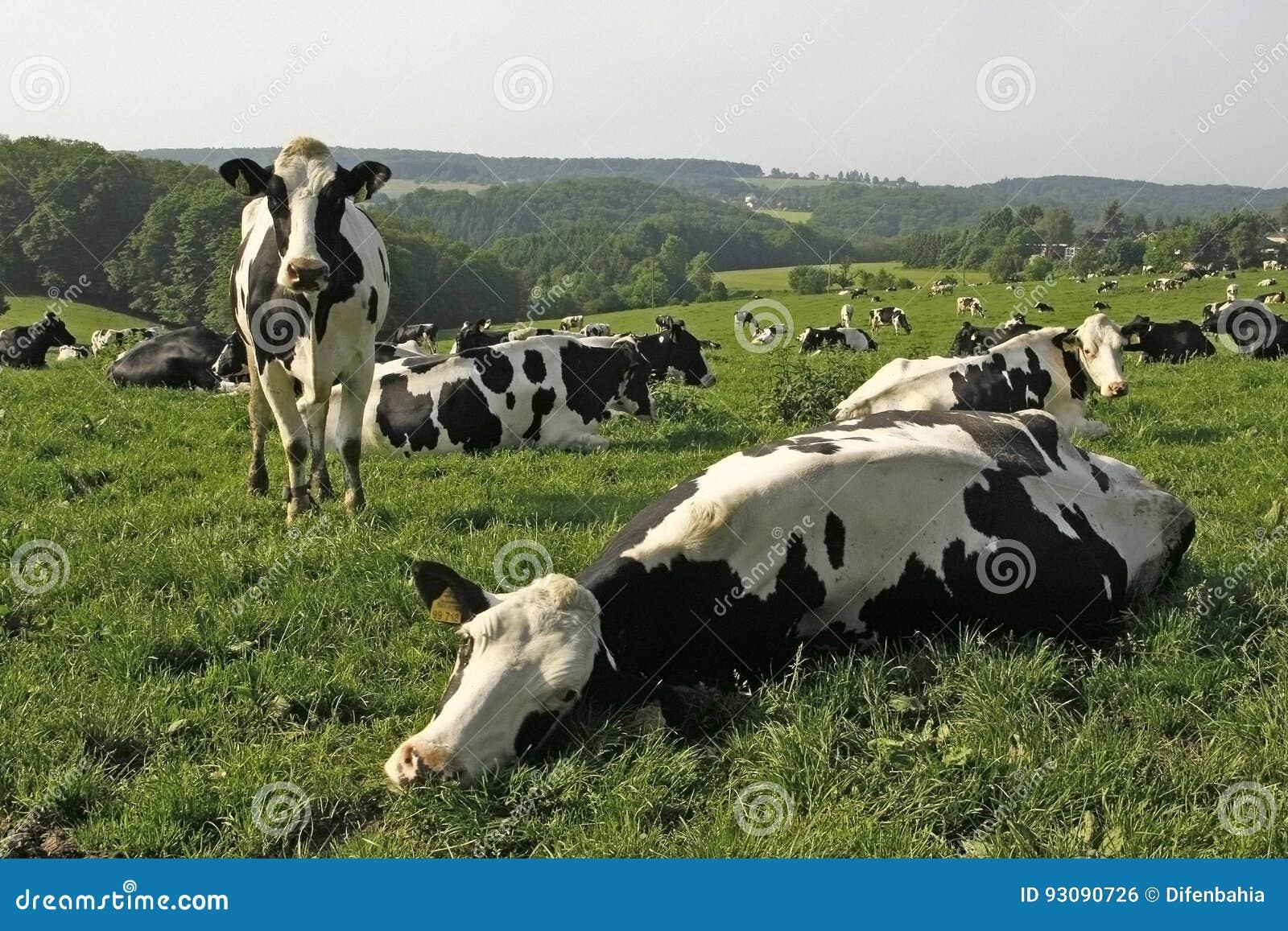 Αγελάδες λιβάδι τομέων στη νοτιοδυτική Γερμανία
