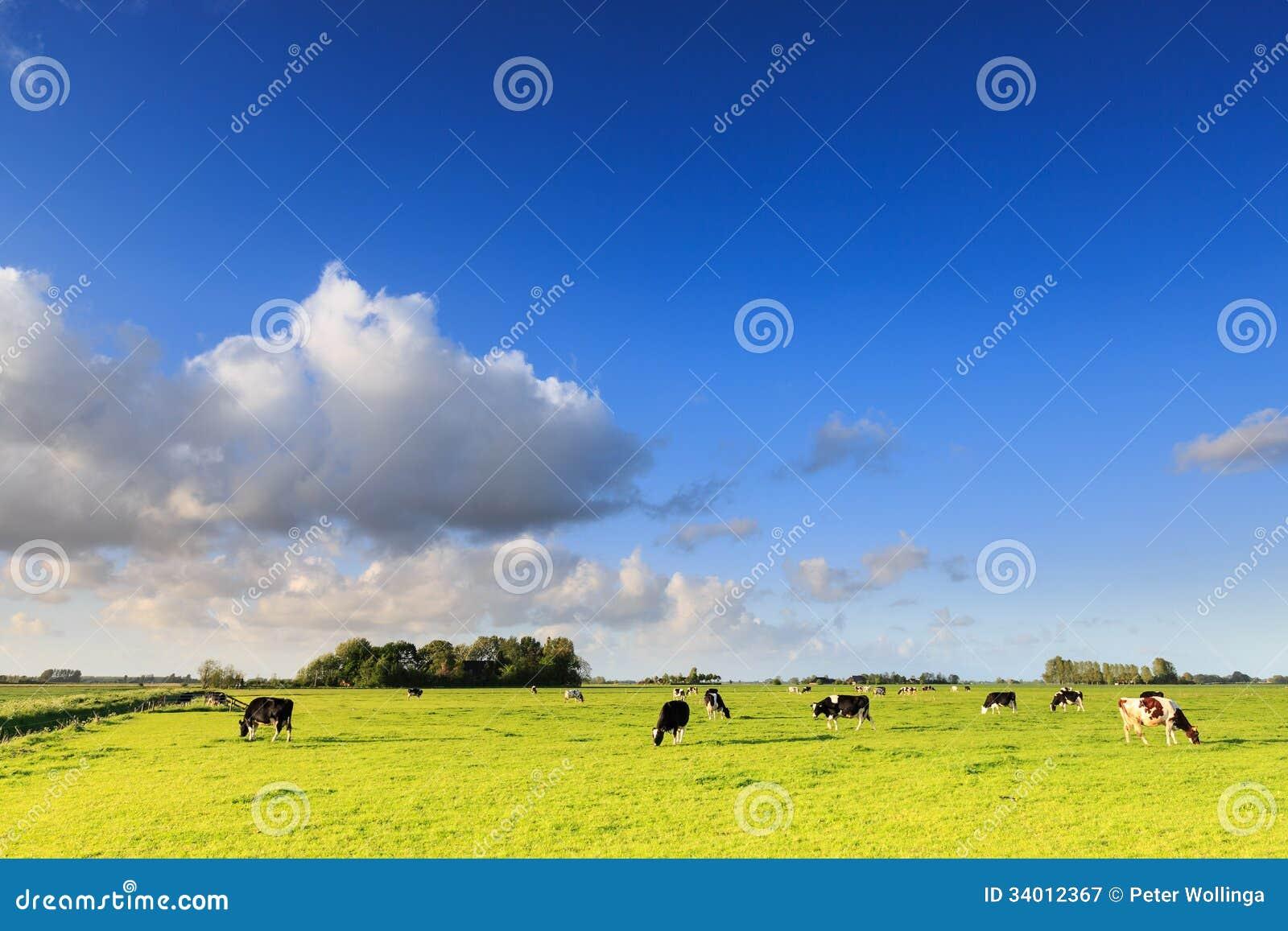 Αγελάδες που βόσκουν σε ένα λιβάδι σε ένα χαρακτηριστικό ολλανδικό τοπίο