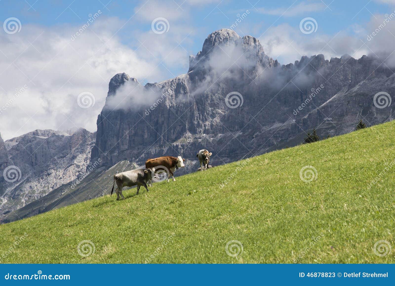 Αγελάδες σε Latemar