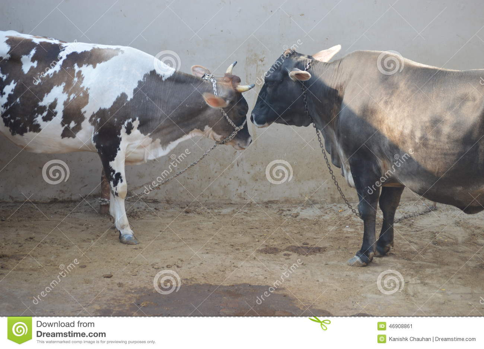 αγελάδες δύο