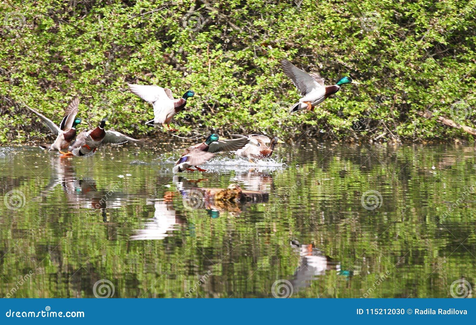 Αγριόχηνα που πετούν στο πάρκο Πάπια πρασινολαιμών στη φύση στη λίμνη Φωτογραφία κάλυψης με τις πάπιες ανασκόπηση που σχεδιάζε&t