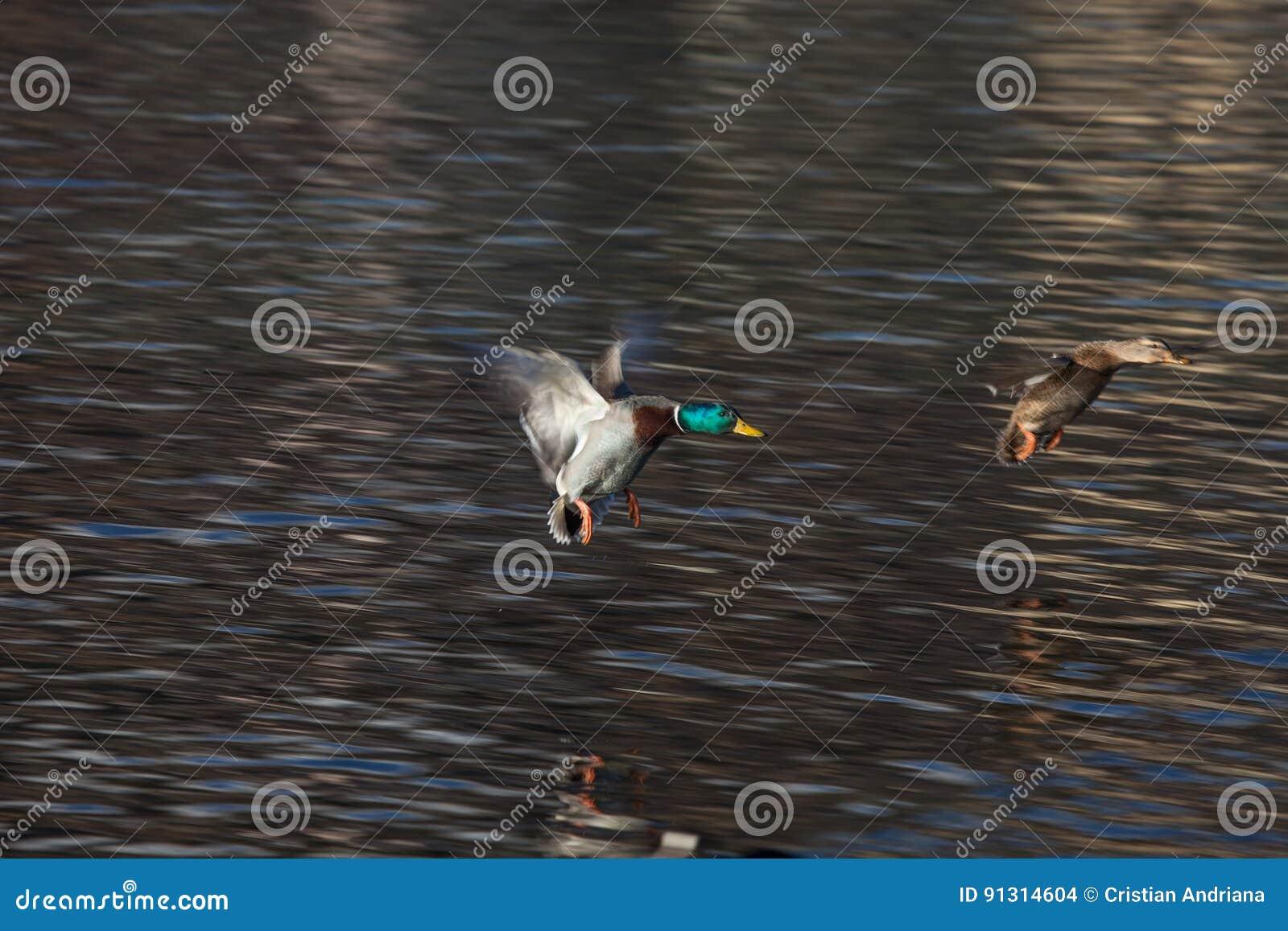 Αγριόχηνα που προσγειώνονται στο ST Moritz, Ελβετία