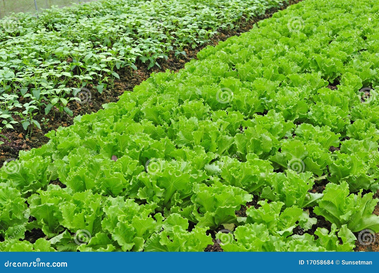 αγροτικό λαχανικό