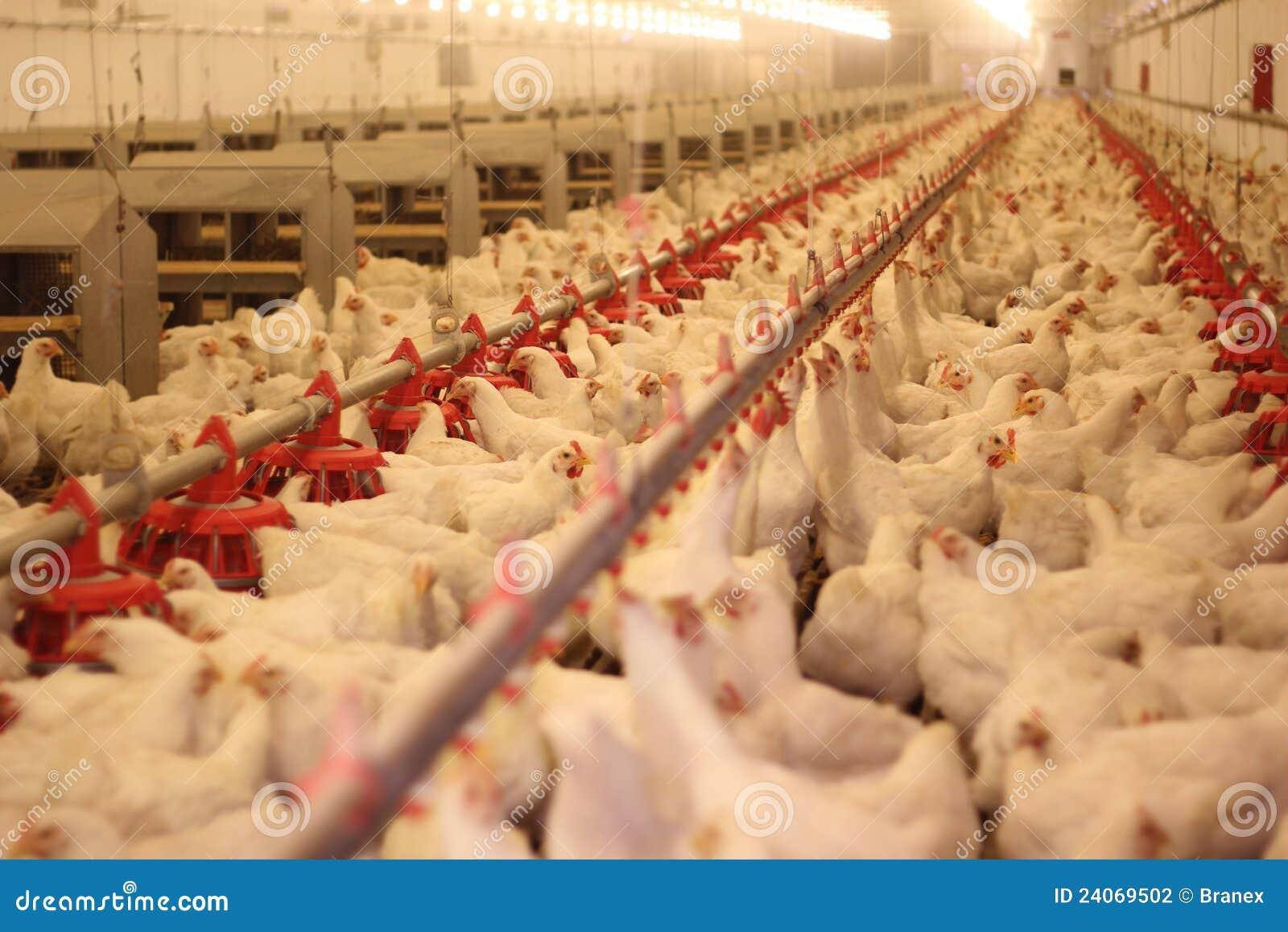 αγρόκτημα κοτόπουλου