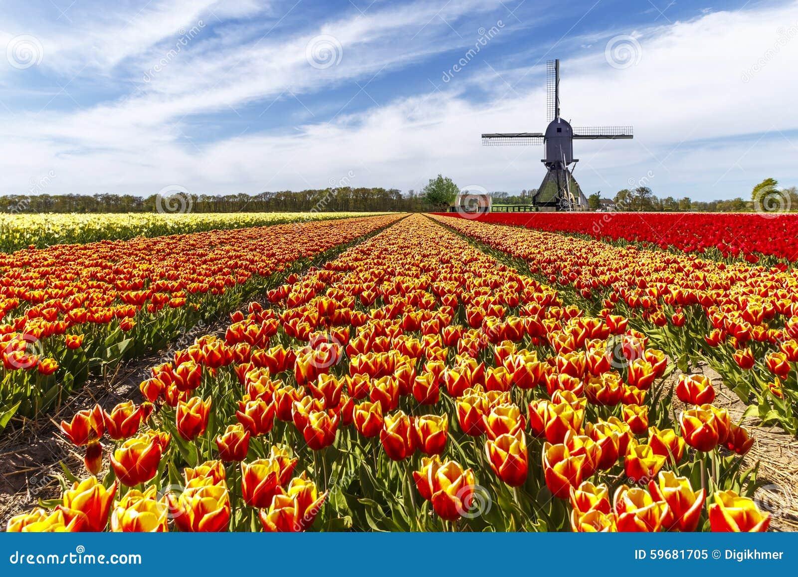Αγρόκτημα τουλιπών χρώματος ουράνιων τόξων