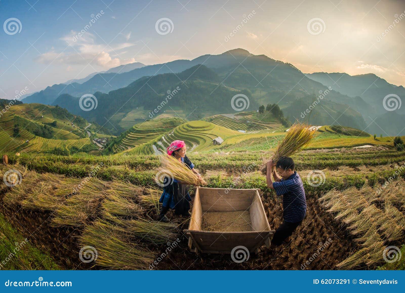 Αγρότες που συγκομίζουν το ρύζι στο διάσημο πεζούλι στο Βιετνάμ