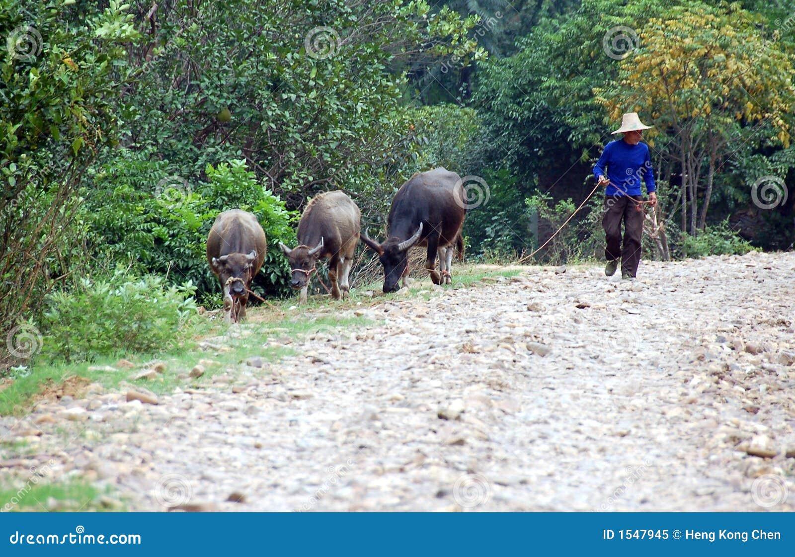 αγρότης buffallos
