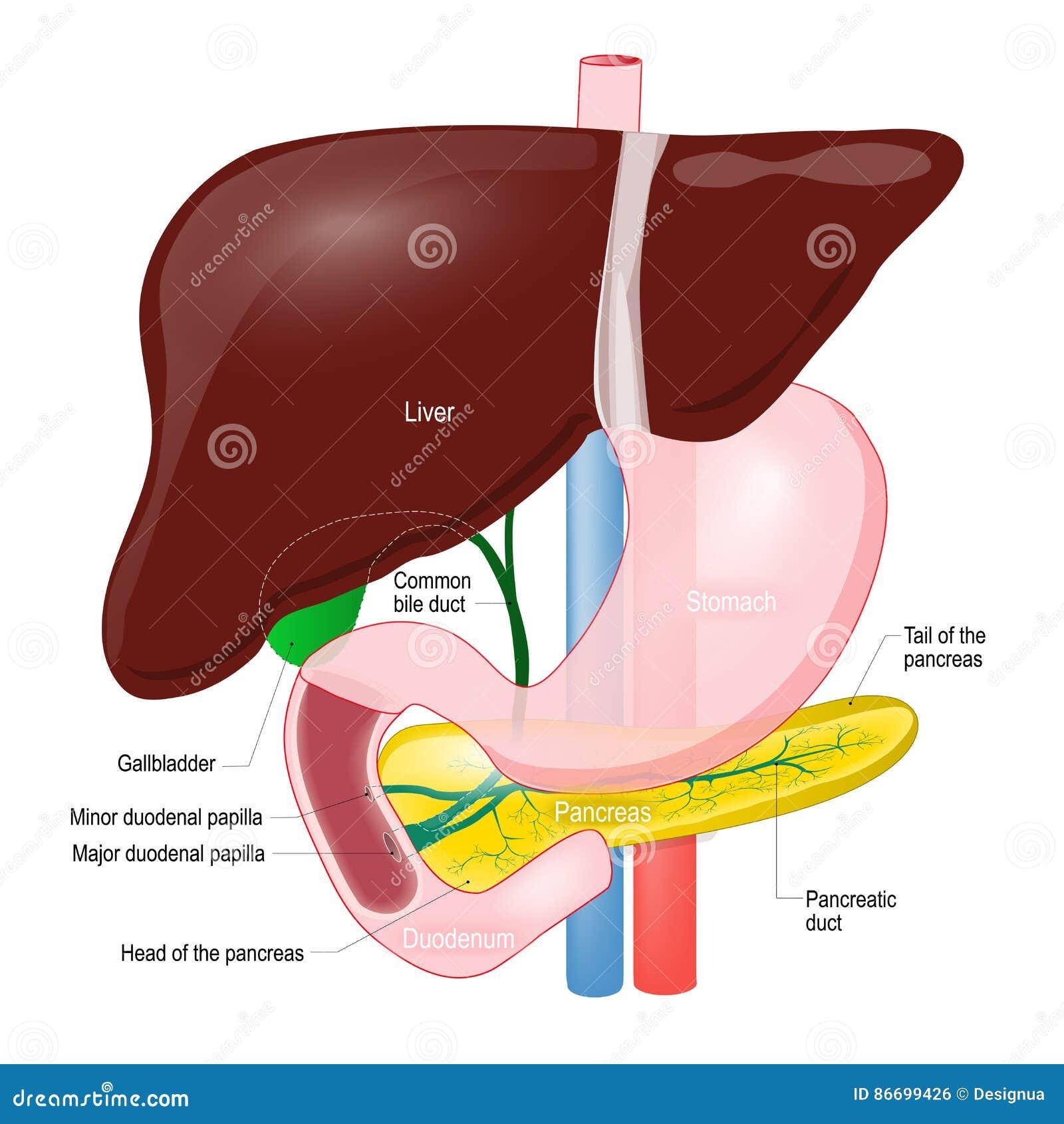 Αγωγός χοληδόχων κύστεων ανατομία του πάγκρεατος, του συκωτιού, duodenum και του s
