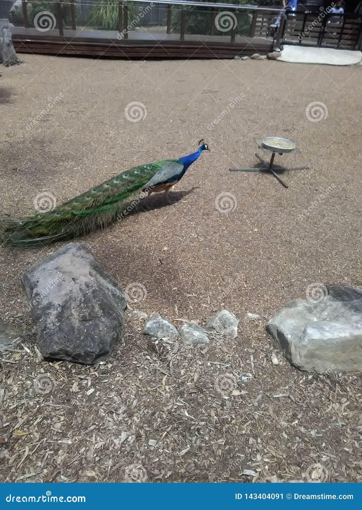 Αειθαλής εραστής πουλιών peacock