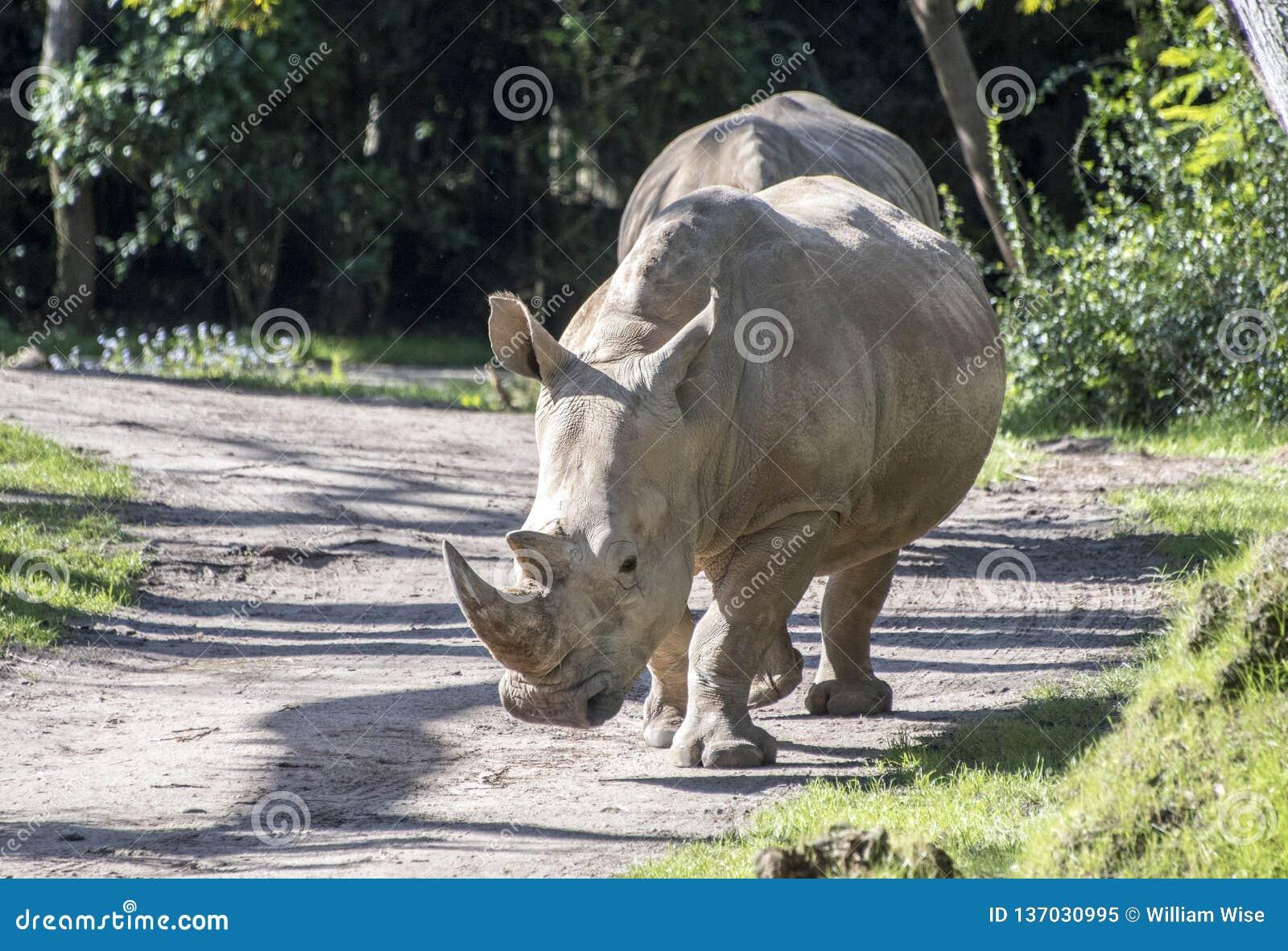 Αιχμάλωτος ρινόκερος στο γύρο θεματικών πάρκων σαφάρι