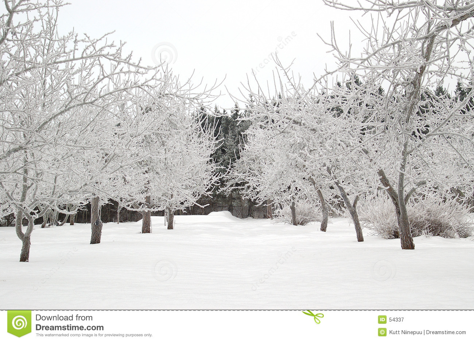 αλέα χιονώδης