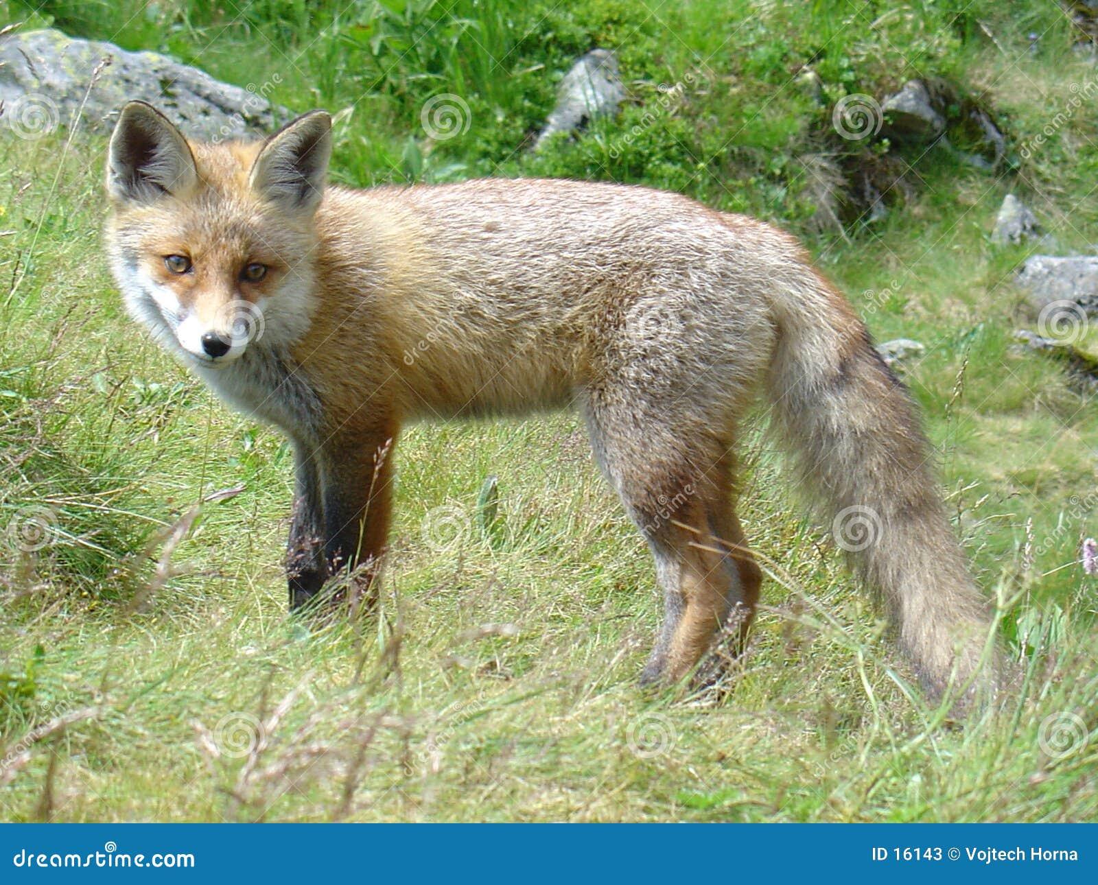 αλεπού Σλοβακία