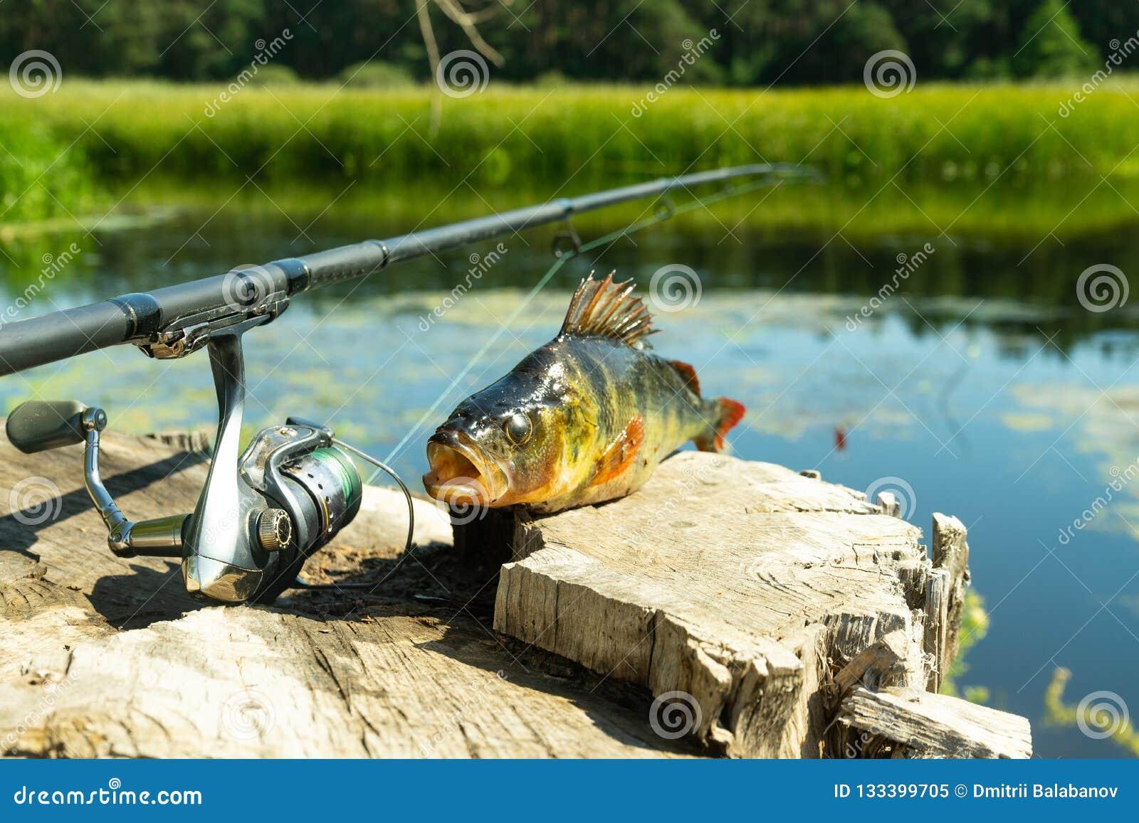Αλιεία στην περιστροφή Η σύλληψη στην περιστρεφόμενη ράβδο στον ποταμό Μια πέρκα σε έναν γάντζο Αθλητισμός με την περιστροφή κοντ