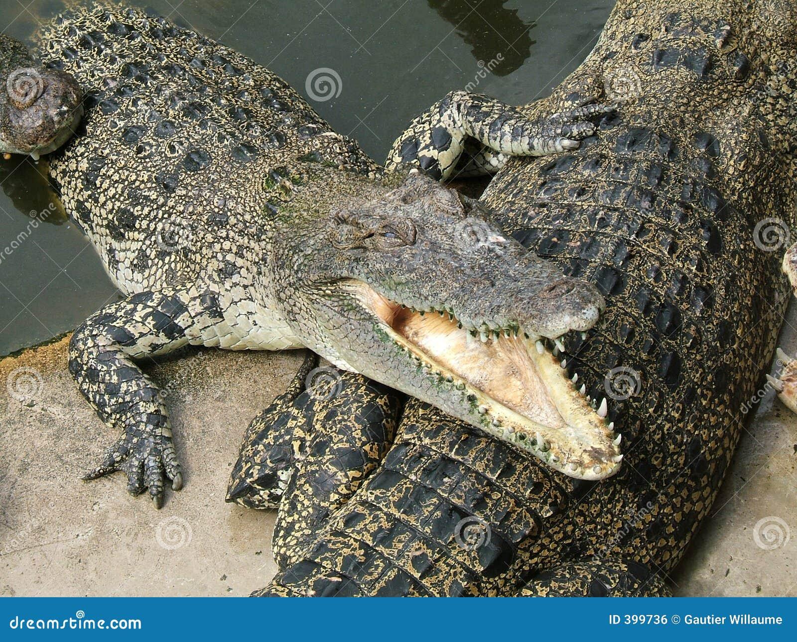 αλλιγάτορας επικίνδυν&omicro